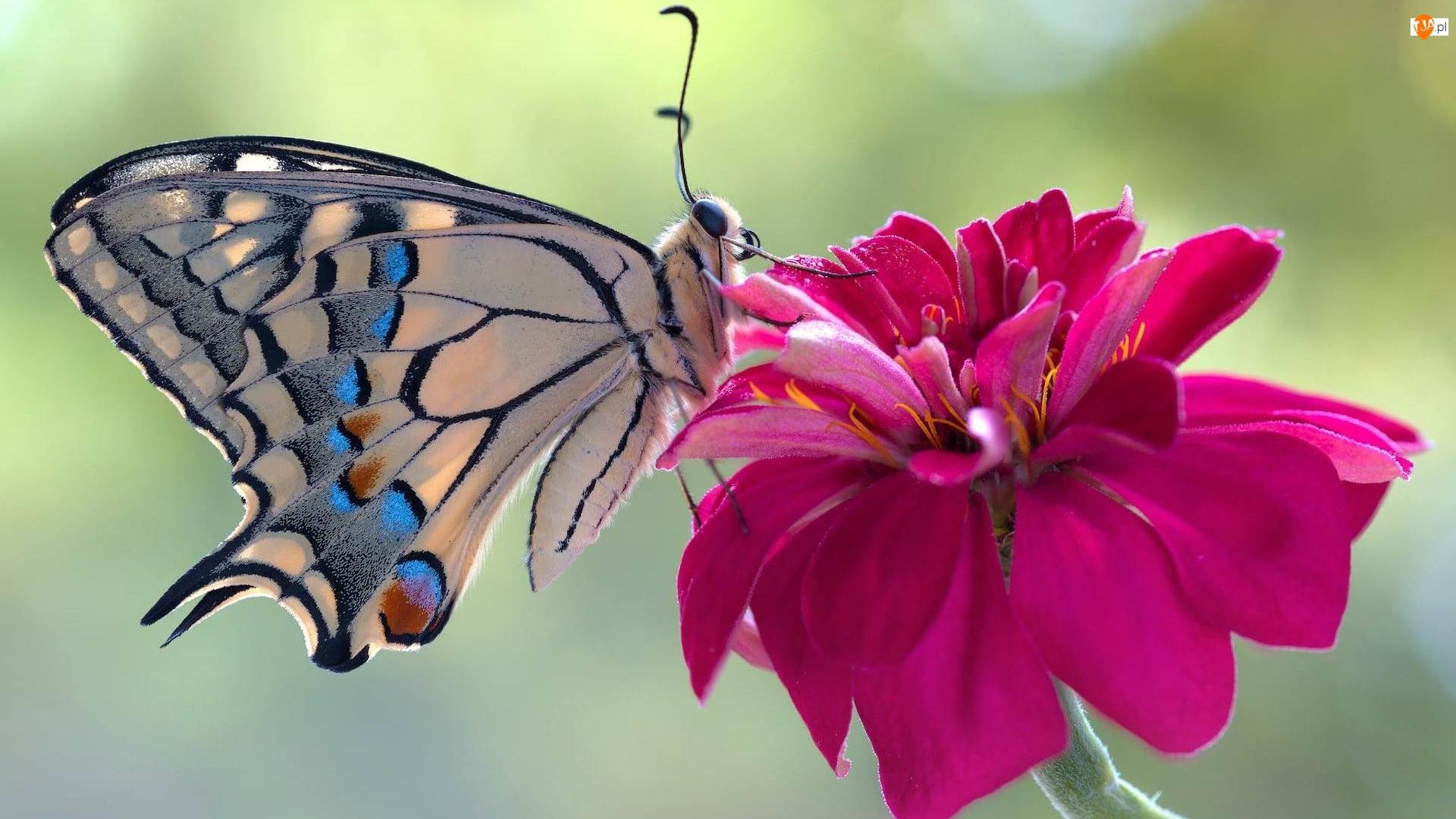 Paź królowej, Motyl, Czerwony, Dalia, Makro, Kwiat