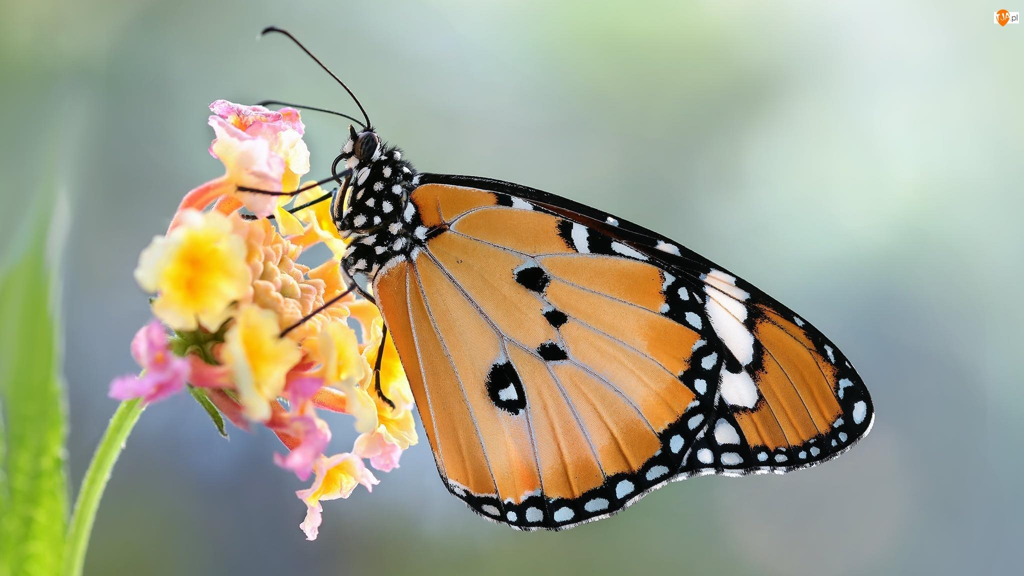 Makro, Kwiat, Monarcha złocisty, Motyl, Roślina