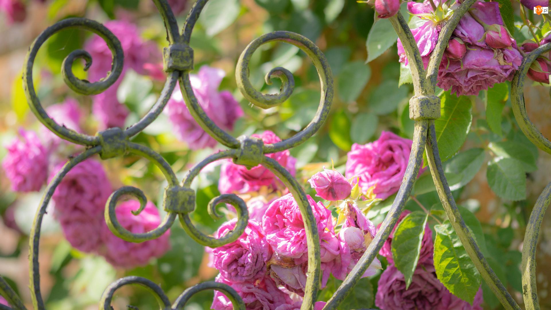 Ogrodzenie, Różowe, Róże