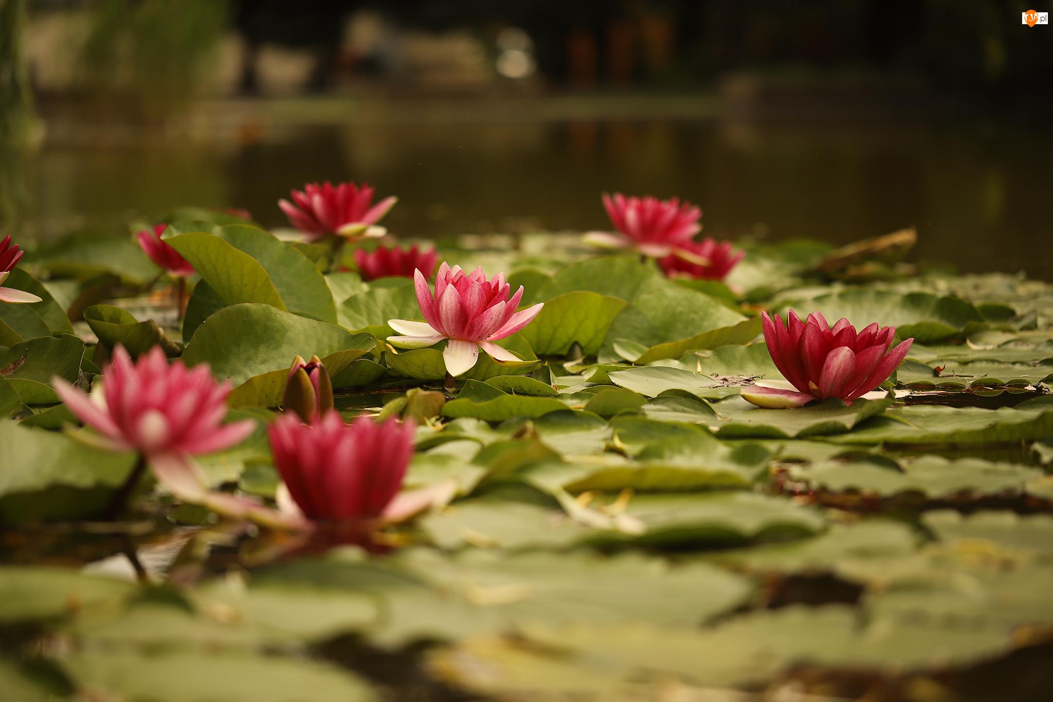 Grzybienie, Zbliżenie, Nenufary, Lilie wodne, Kwiaty