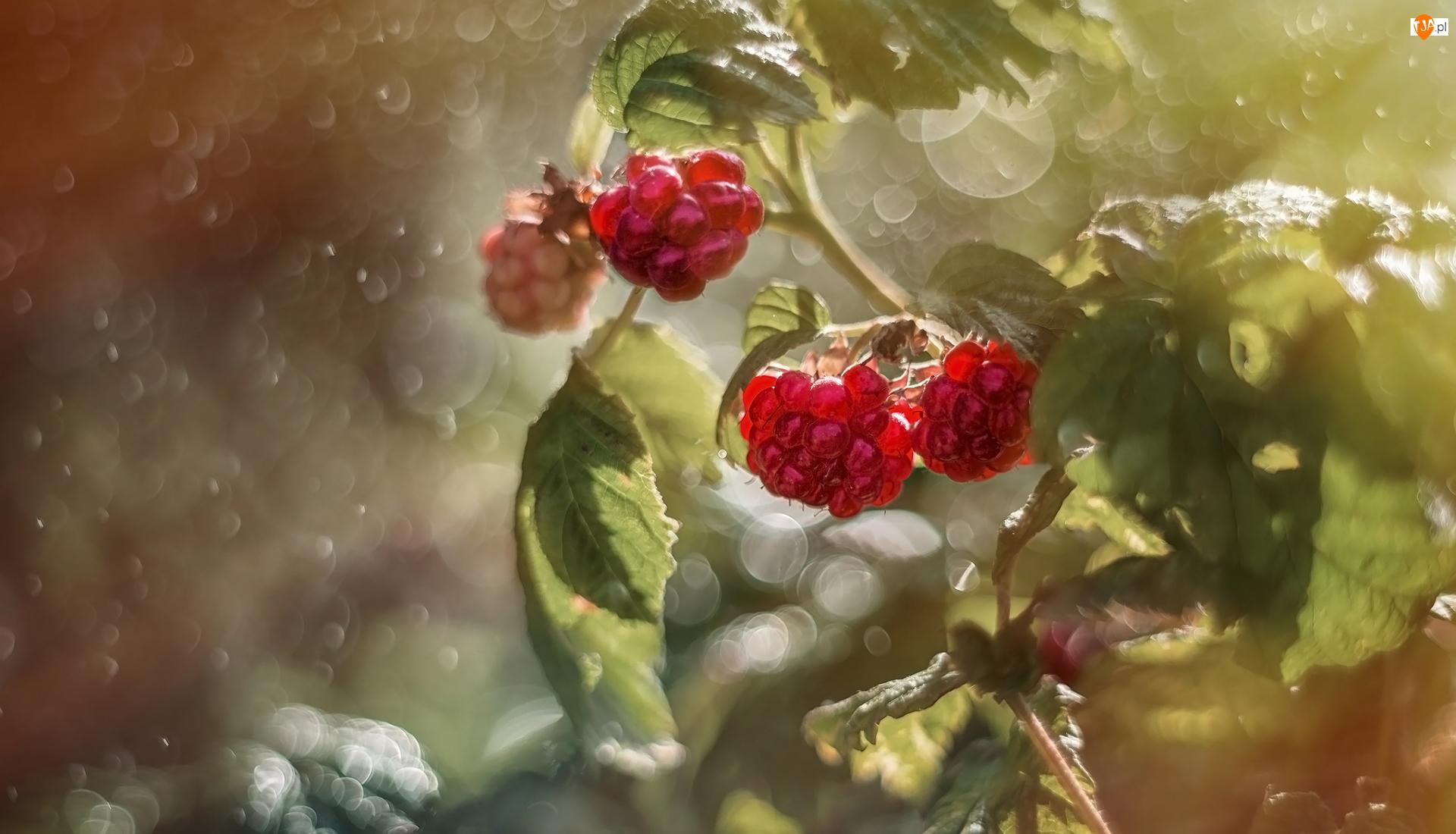 Zbliżenie, Owoce, Maliny, Liście