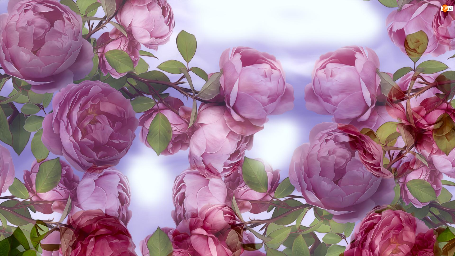 Kwiaty, Grafika, Róże, Różowe, Pąki