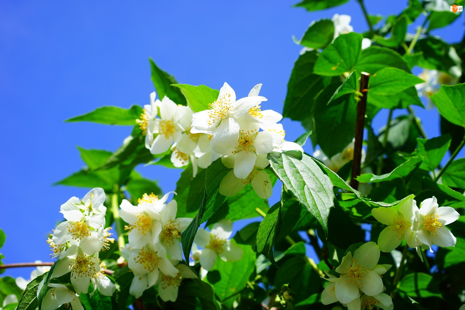 Liście, Niebo, Kwiaty, Drzewo, Jaśminowiec