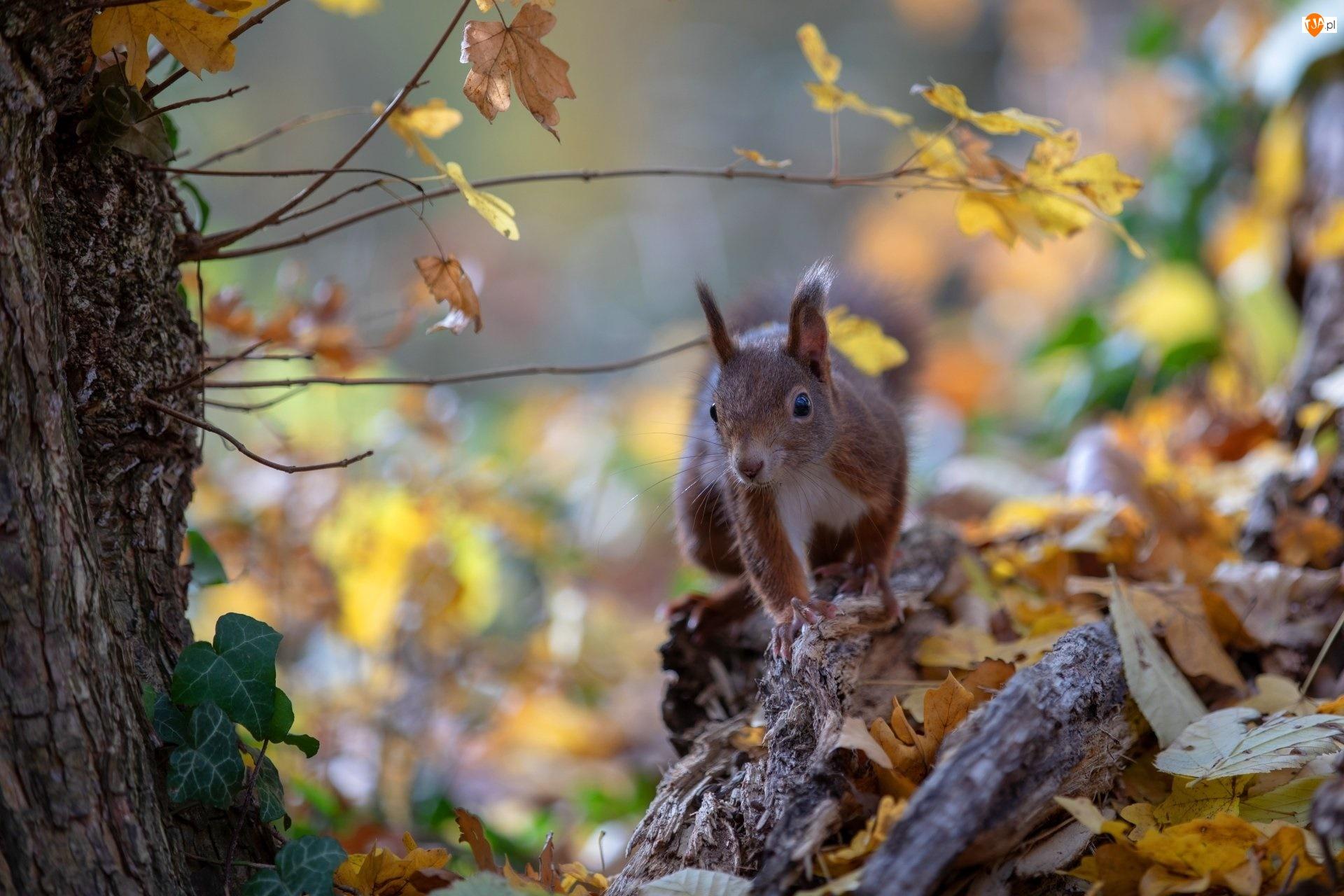 Jesień, Wiewiórka, Drzewo, Liście