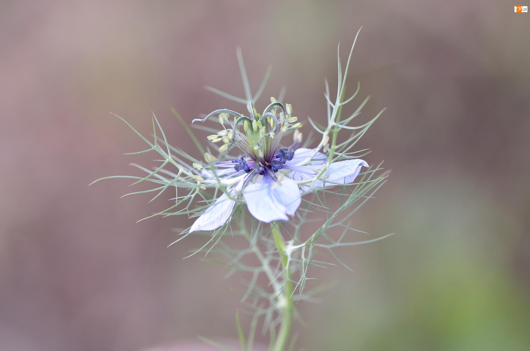Czarnuszka, Kwiat, Niebieska