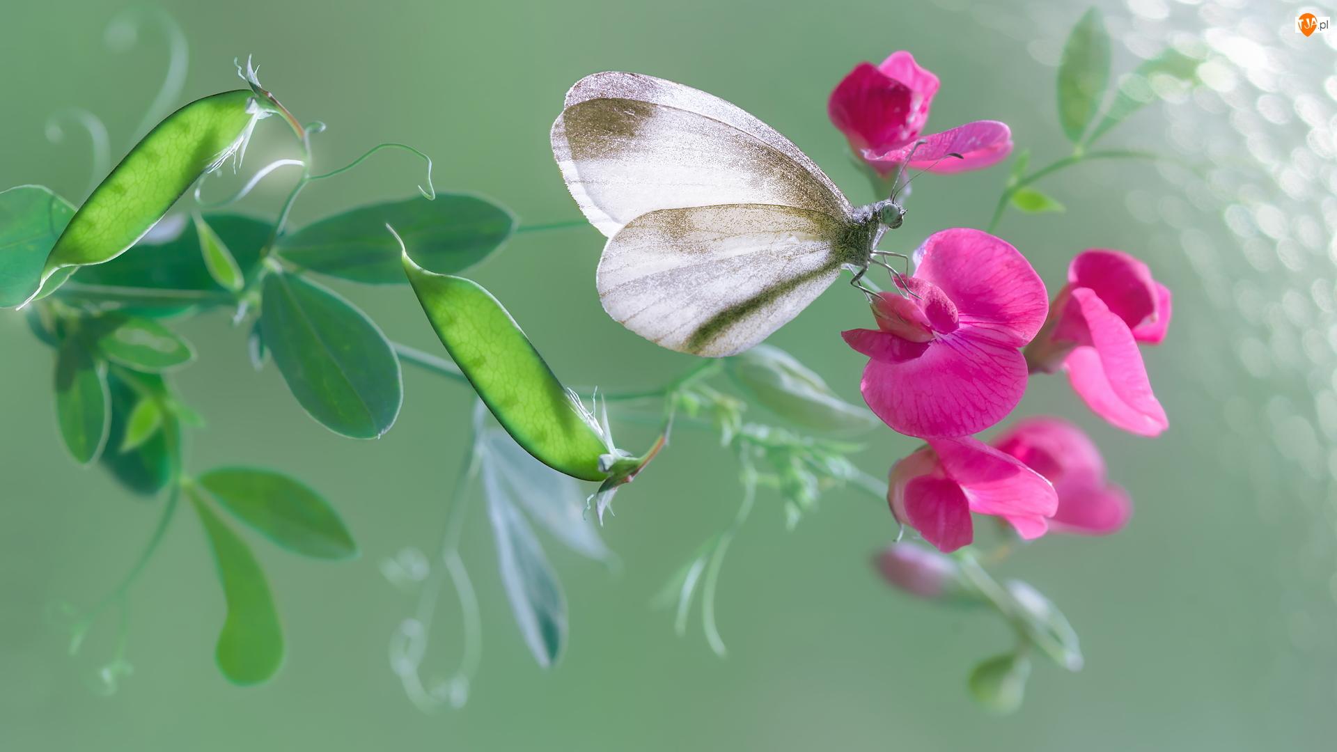 Bielinek rzepnik, Kwiat, Groszek, Motyl