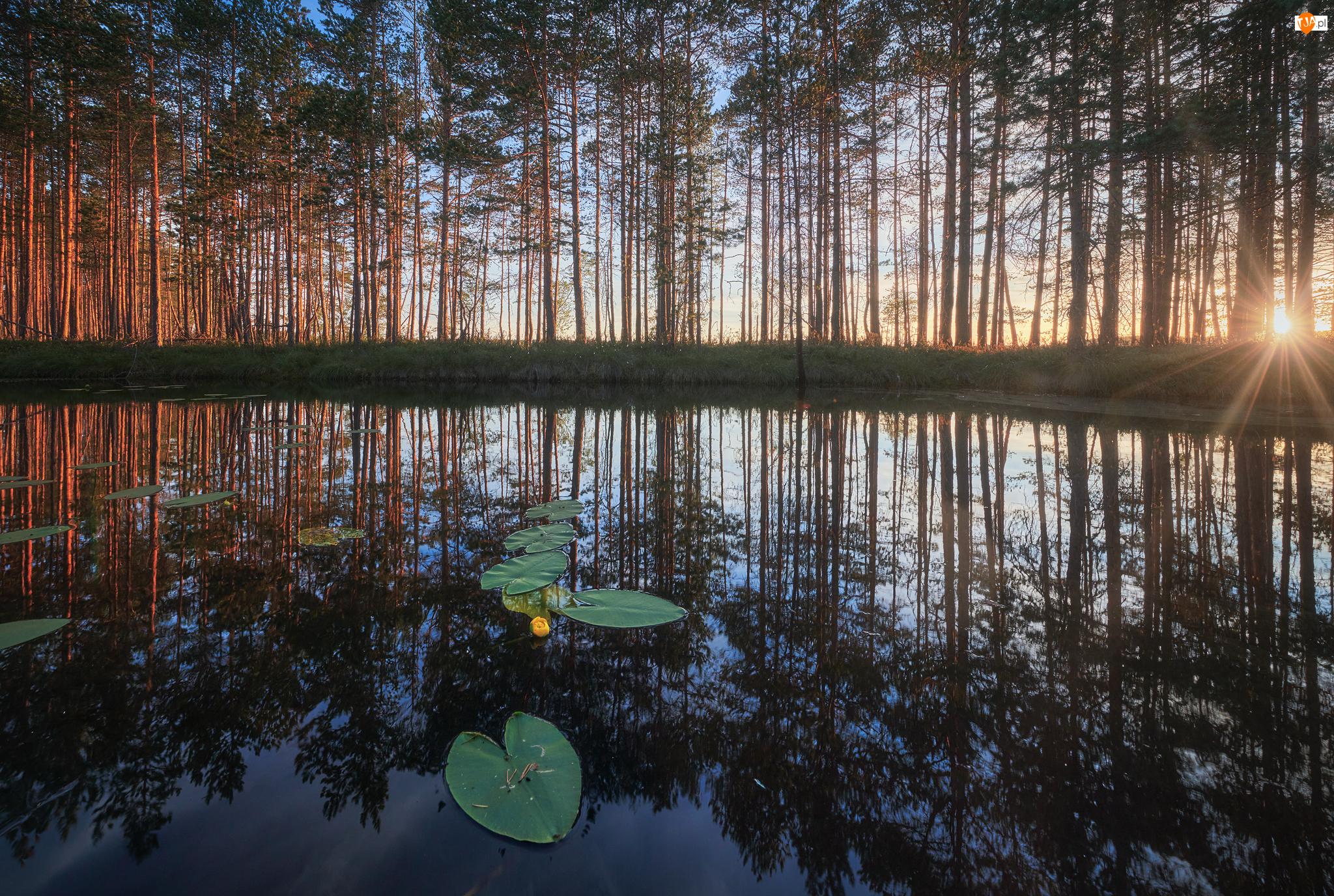 Liście, Wschód słońca, Staw, Drzewa, Lilie wodne