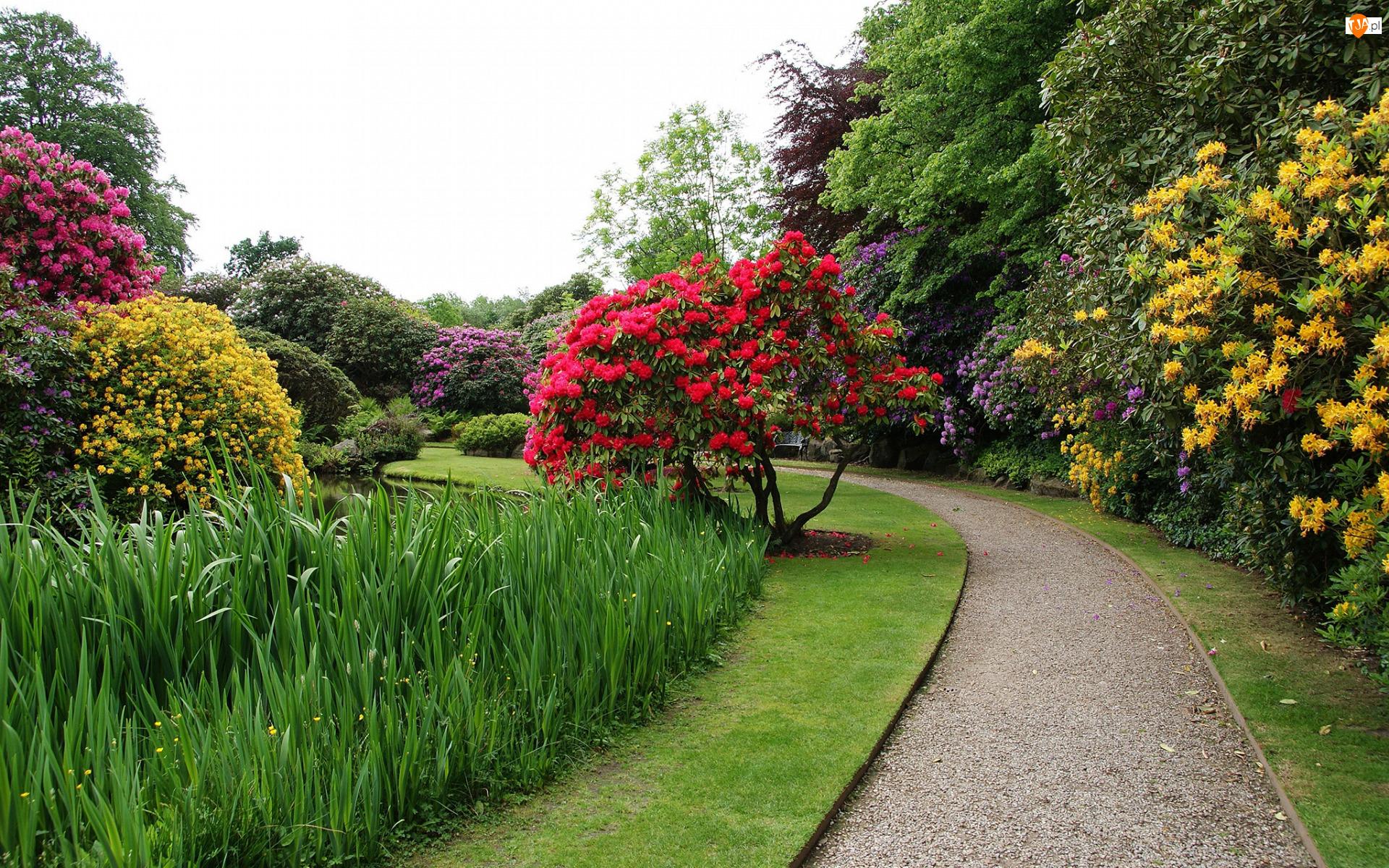 Kwiaty, Park, Drzewa, Biddulph, Ogród Biddulph Grange, Różaneczniki, Anglia, Alejka