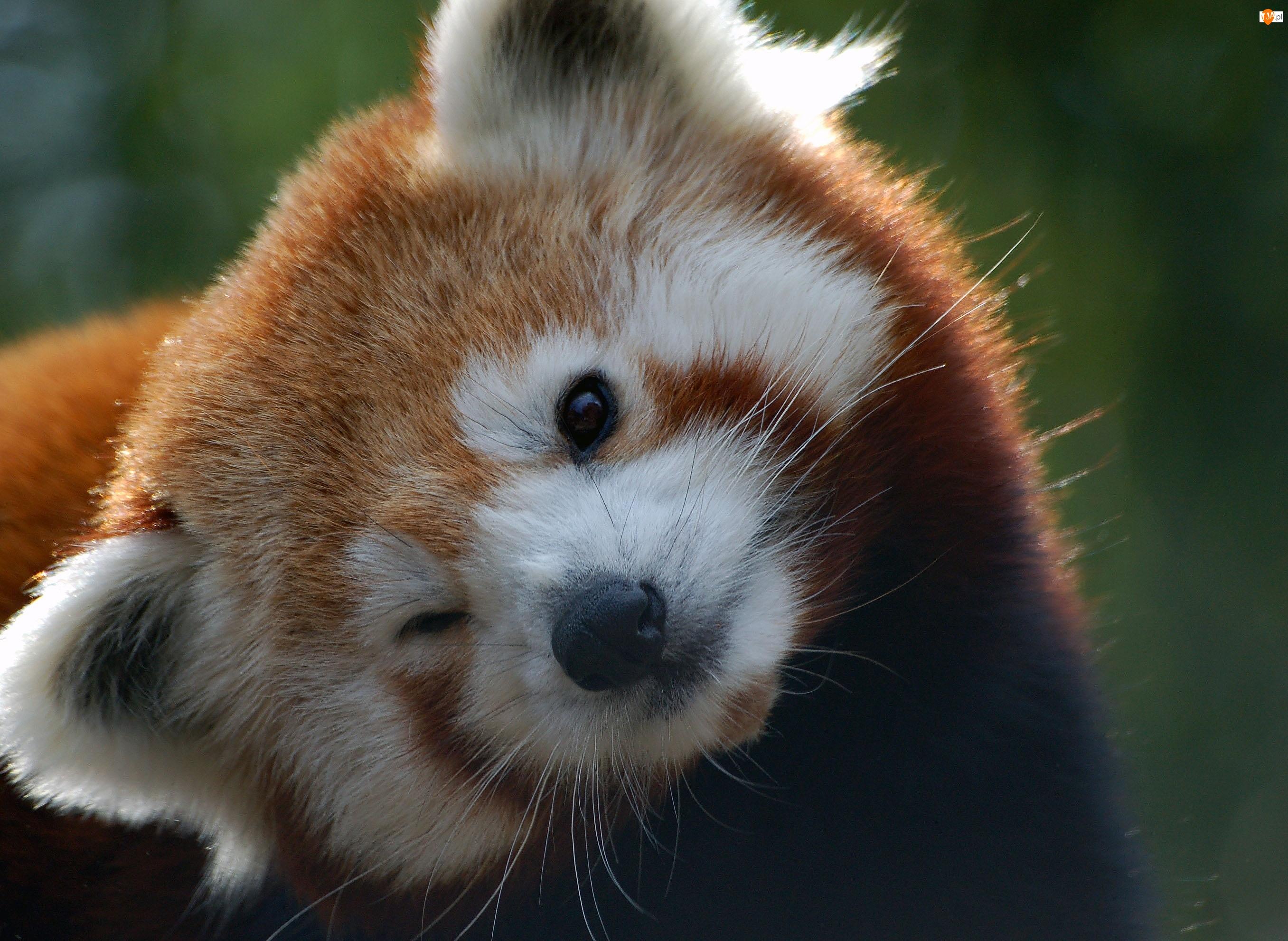 Pandka ruda, Mała