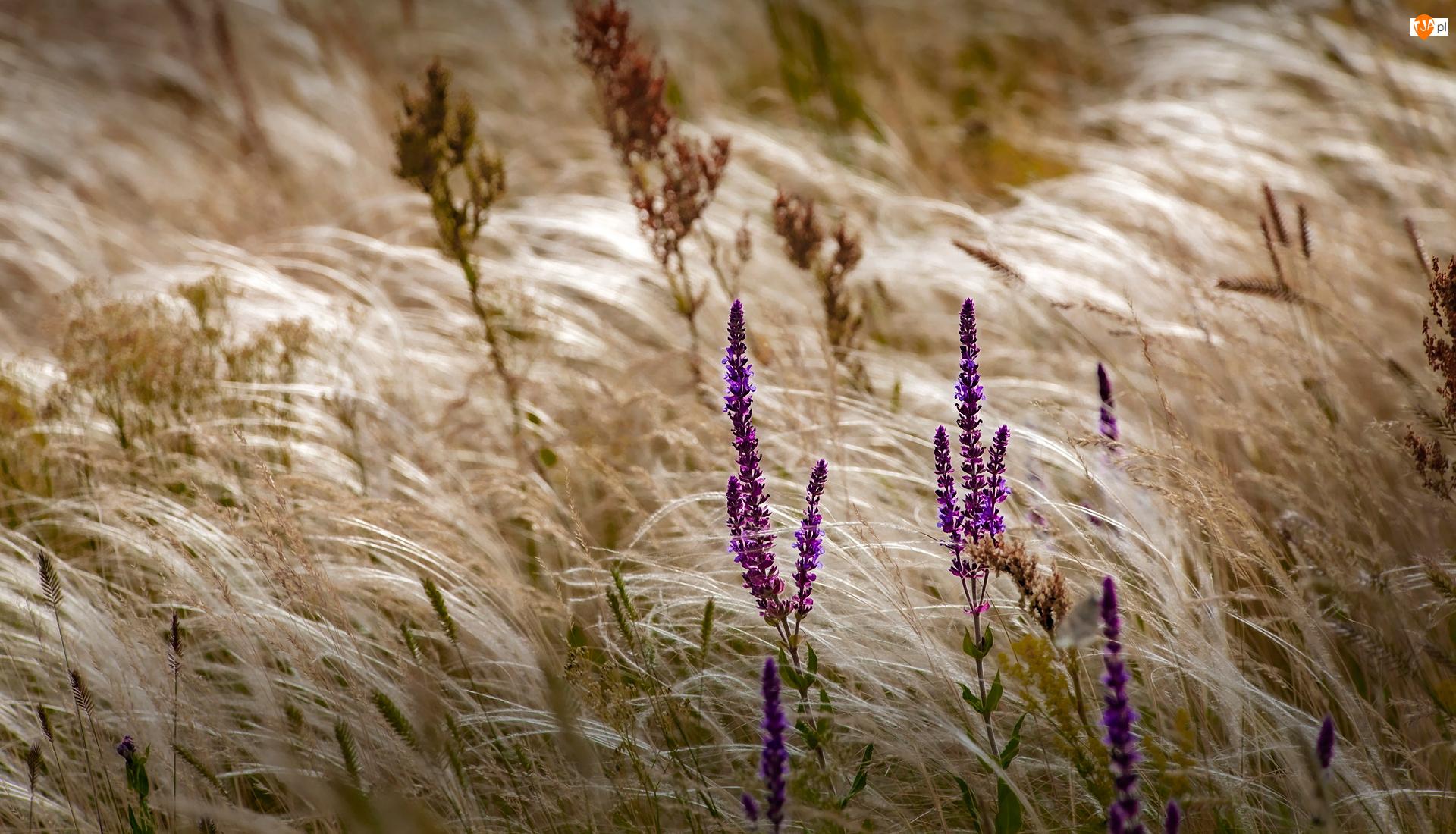Lawenda, Trawa, Fioletowe, Kwiaty