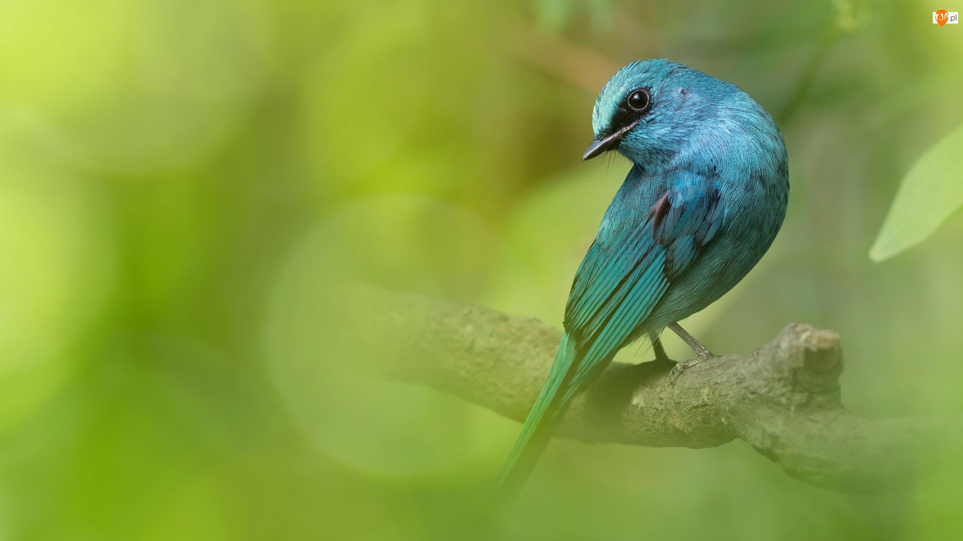 Modrówka seledynowa, Turkusowy, Ptak