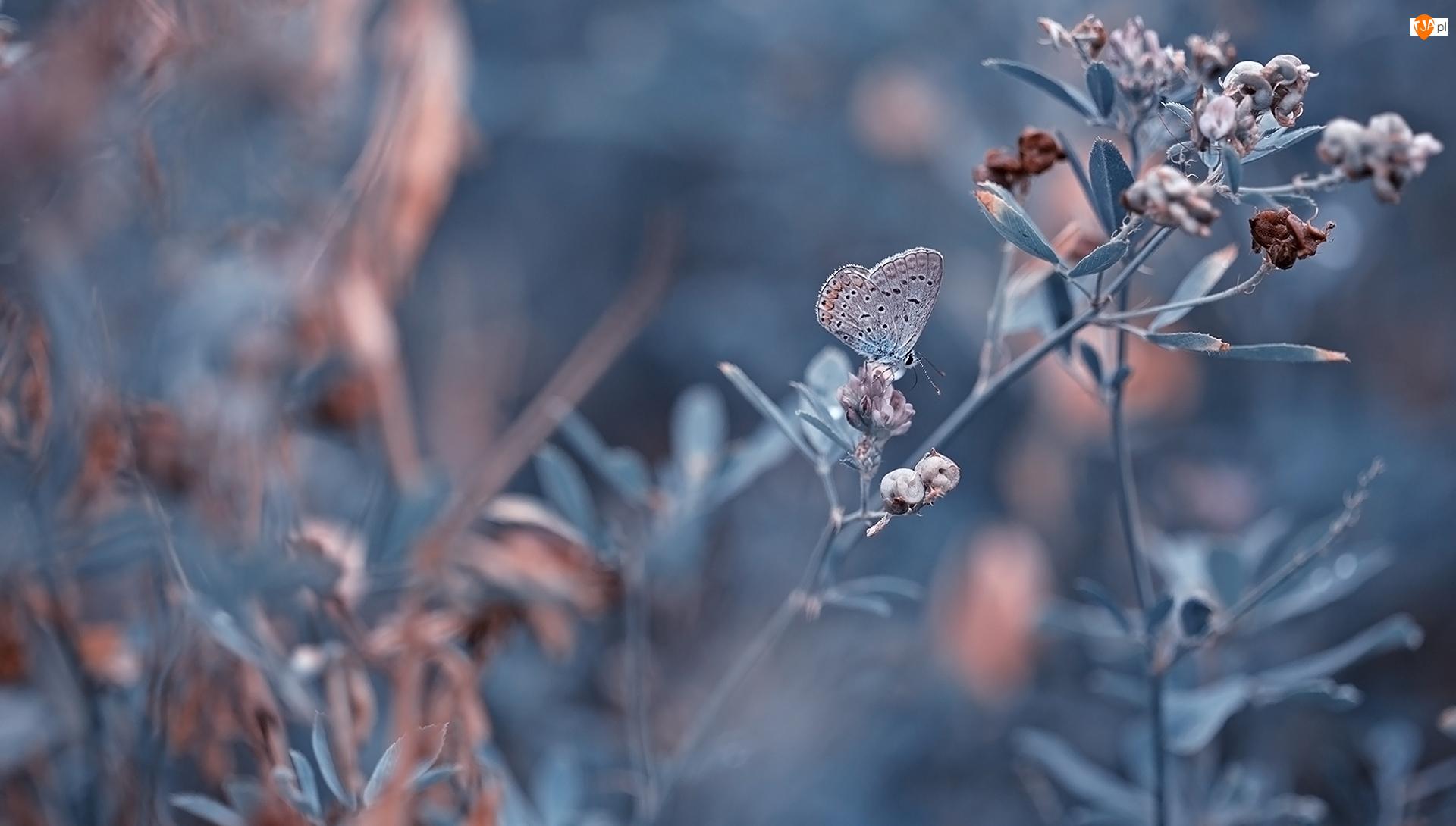 Rozmycie, Rośliny, Motyl, Modraszek ikar