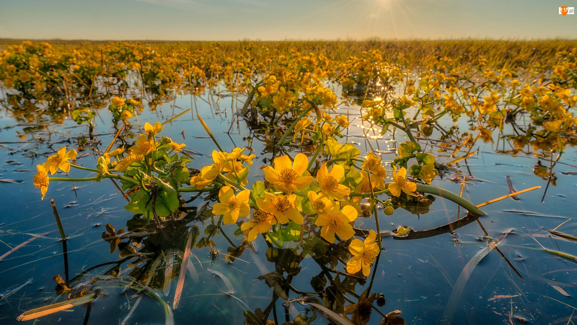 Woda, Kwiaty, Kaczeńce błotne