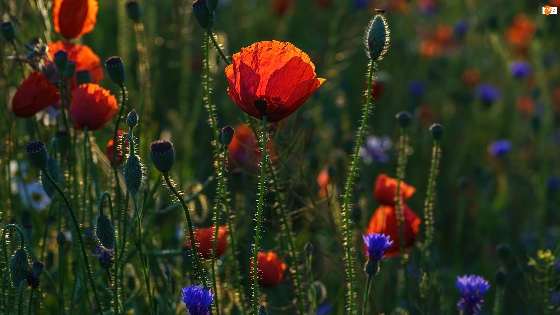 Chabry, Kwiaty, Pąki, Maki
