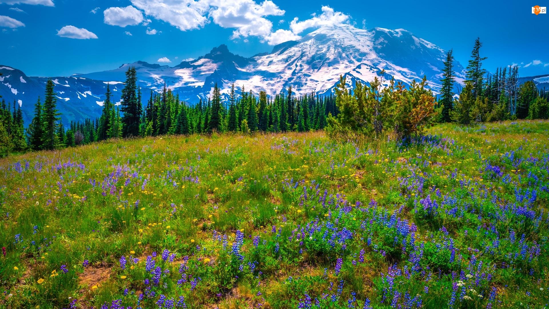 Stany Zjednoczone, Drzewa, Stan Waszyngton, Kwiaty, Łubin, Park Narodowy Mount Rainier, Łąka, Góry, Fioletowe