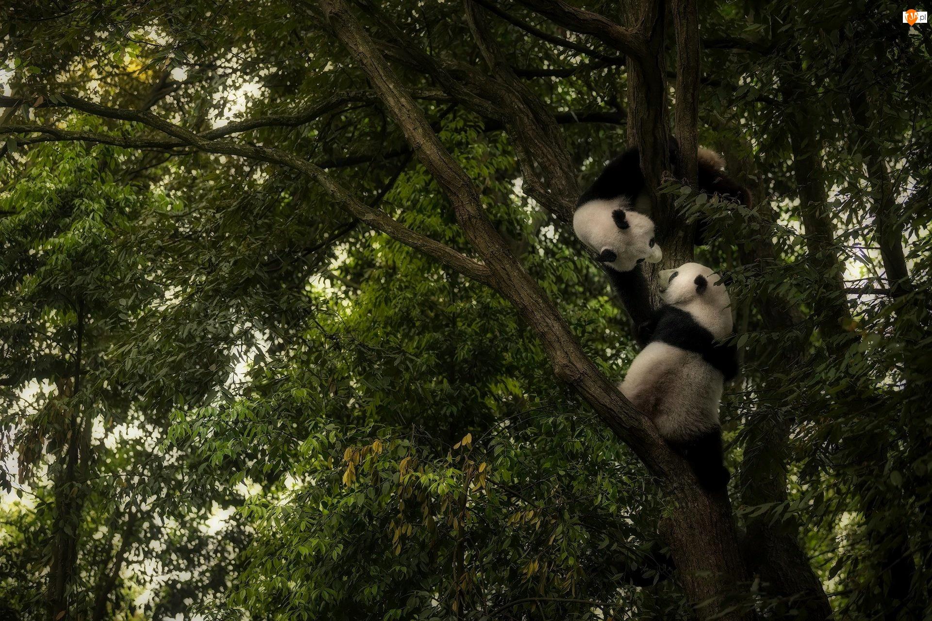 Liście, Niedźwiadki, Pandy, Drzewo