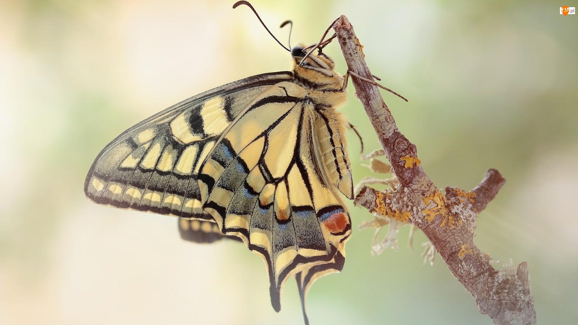 Gałązka, Motyl, Paź królowej