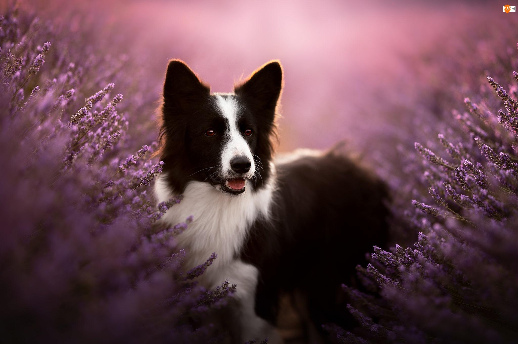 Wrzosy, Czarno-biały, Pies, Border collie
