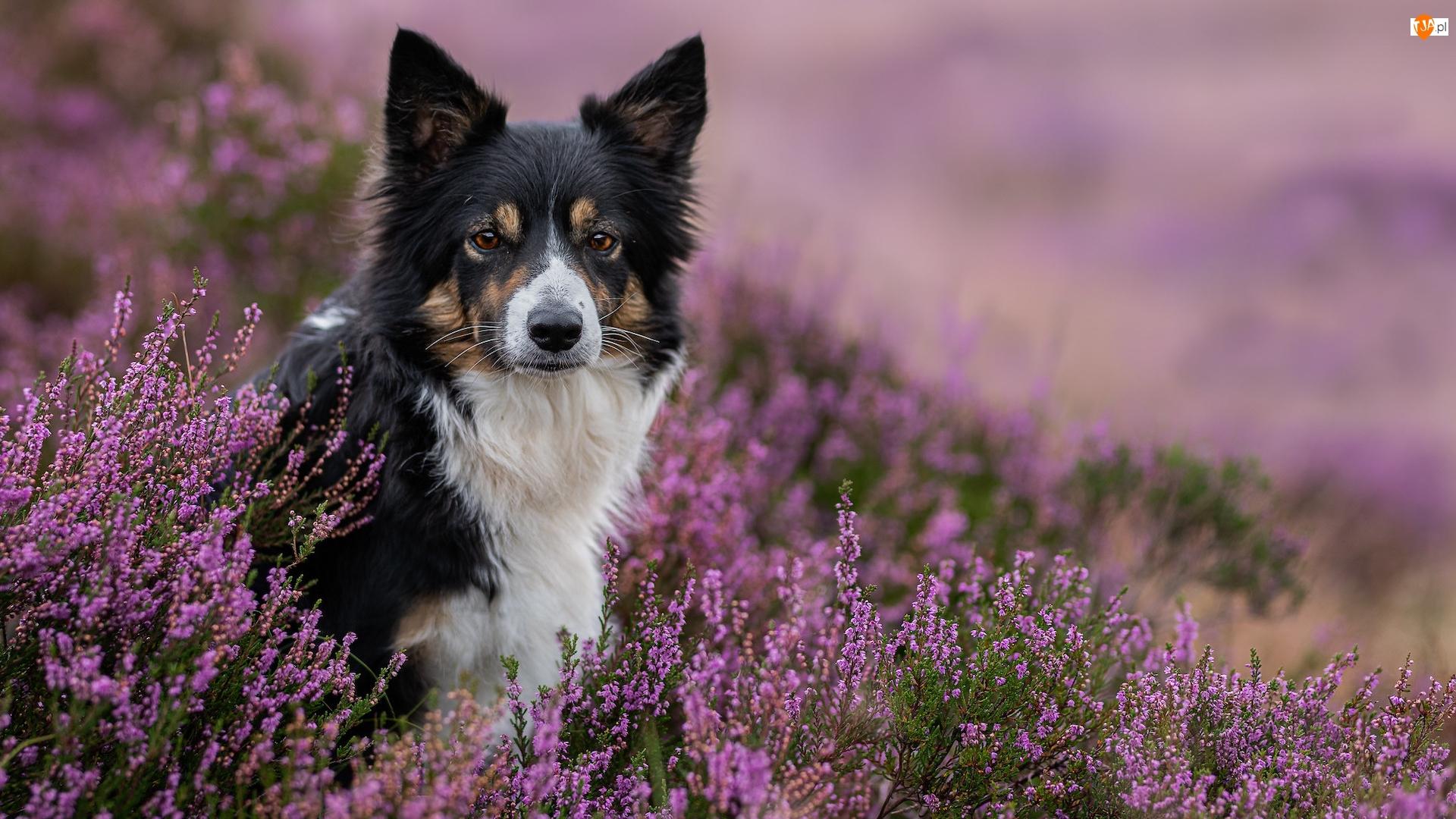 Kwiaty, Wrzosy, Border collie, Pies, Fioletowe