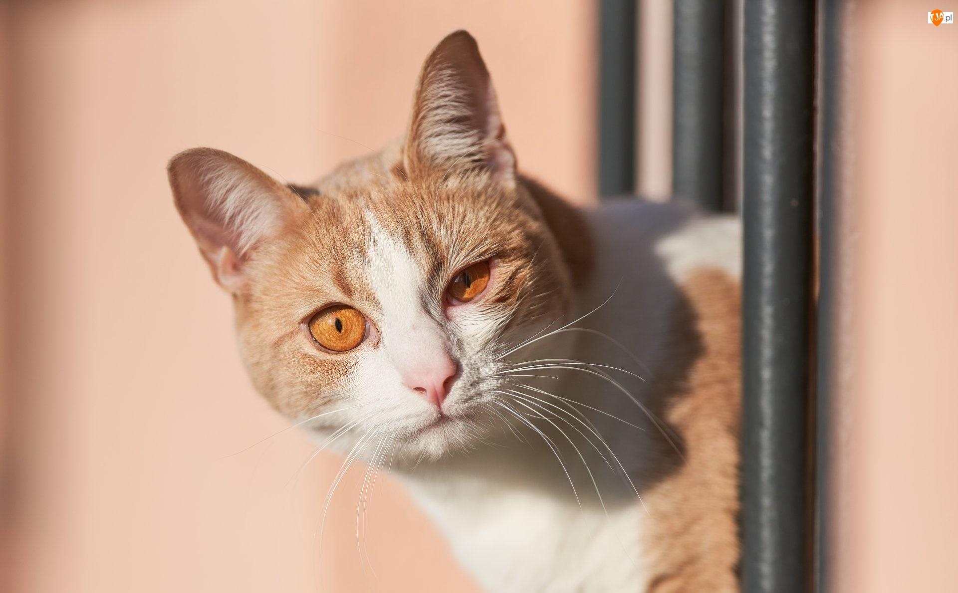 Oczy, Rudo-biały, Kot, Brązowe