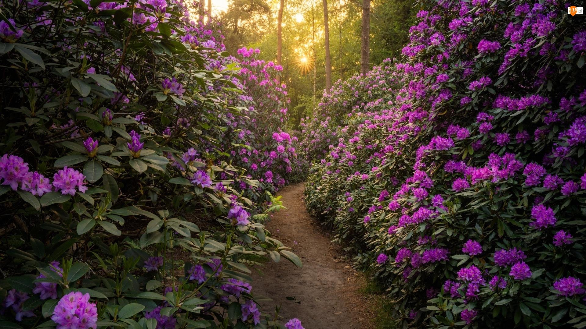 Ścieżka, Różaneczniki, Drzewa, Las, Dróżka