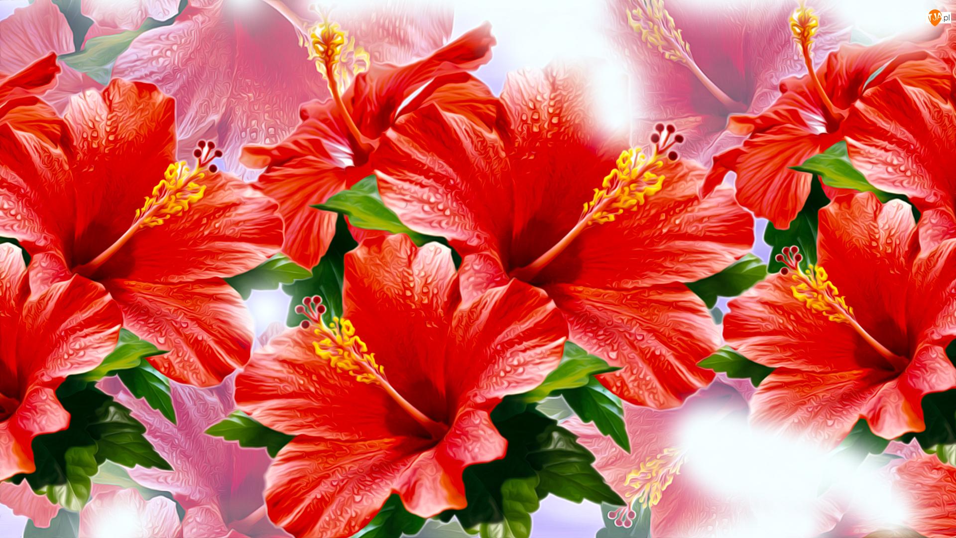 Grafika, Kwiaty, Czerwone, Hibiskusy