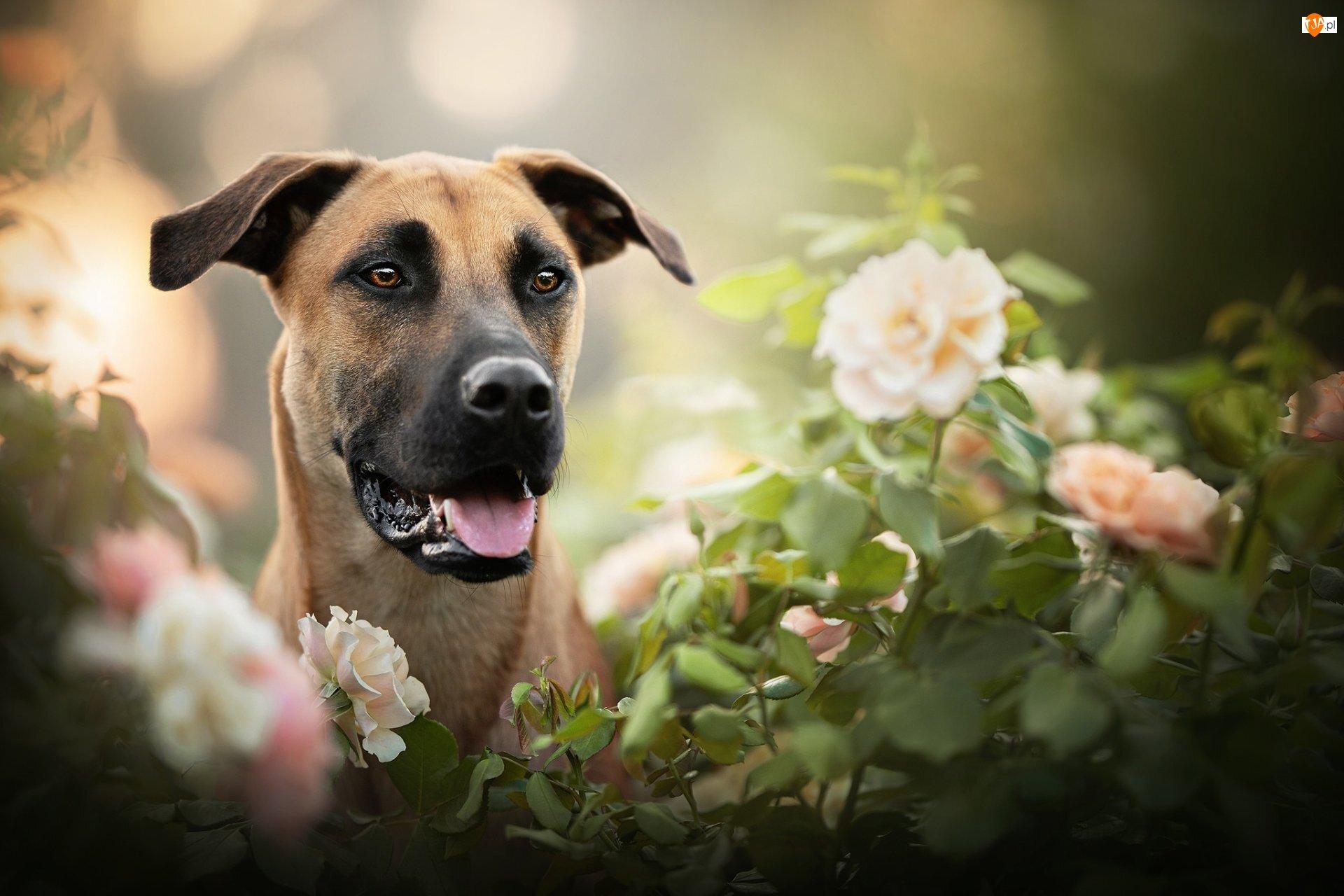Rozmycie, Pies, Blackmouth Cur, Kwiaty