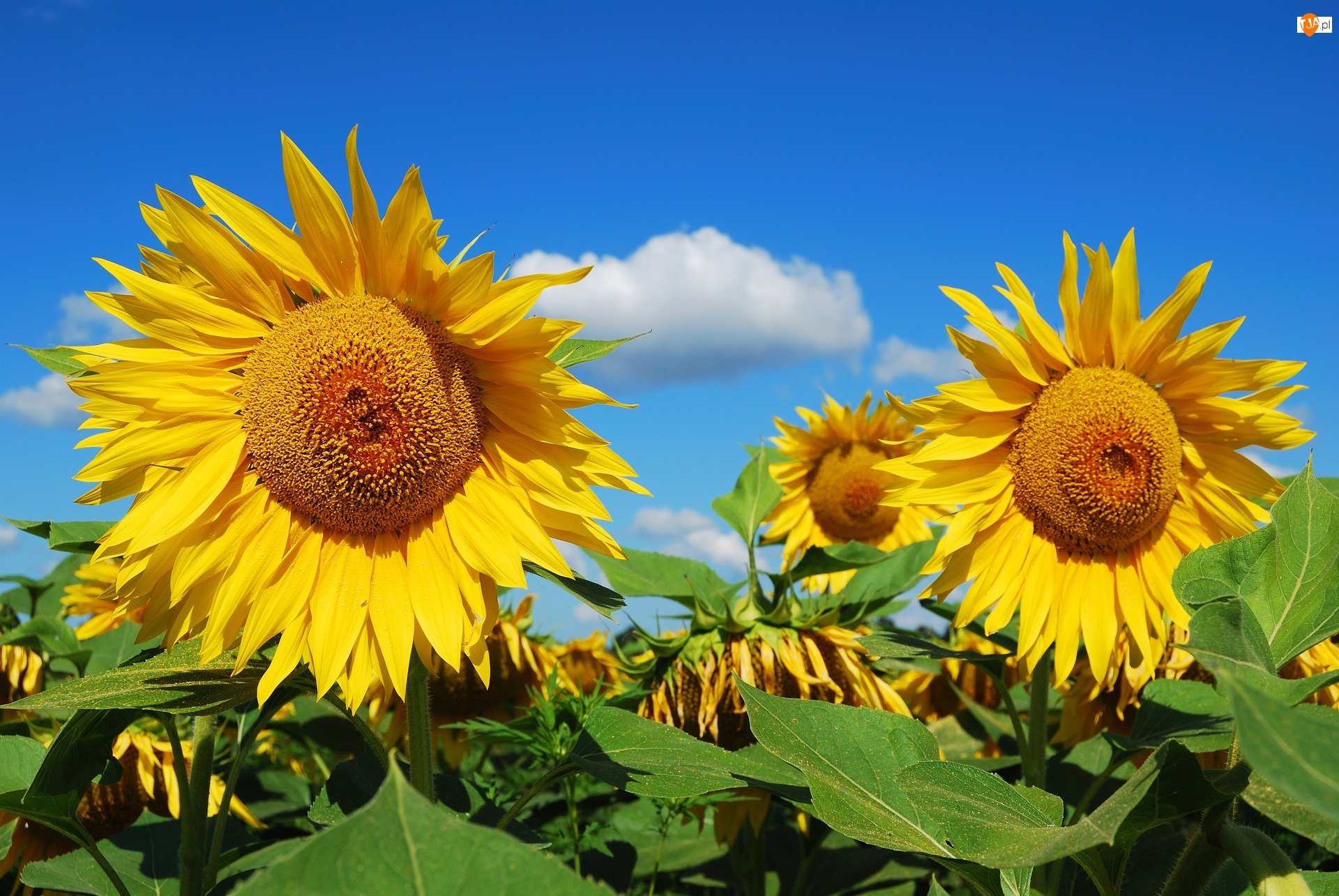 Niebo, Słoneczniki, Liście