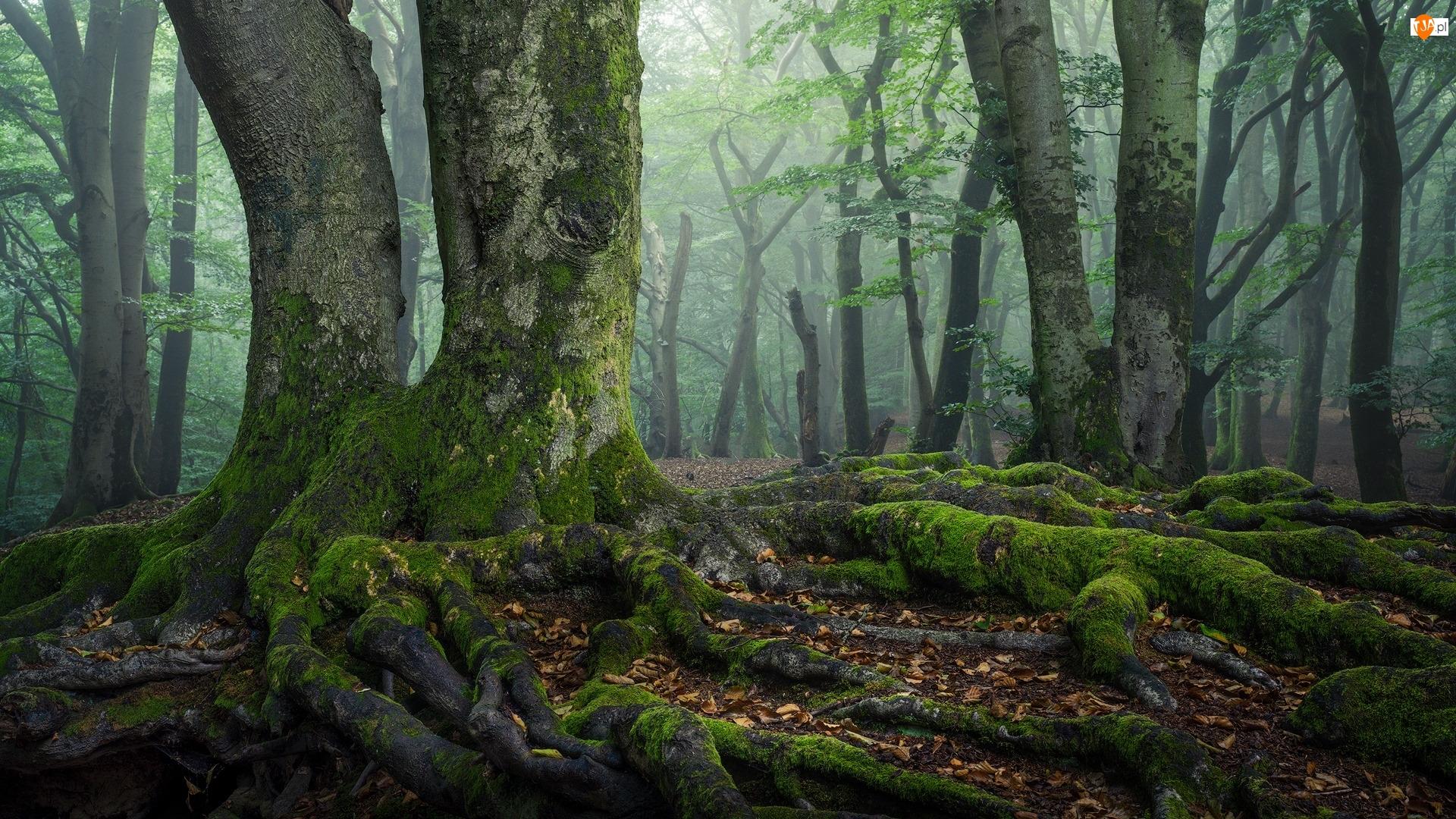 Drzewa, Las, Omszałe, Mgła, Korzenie, Pnie