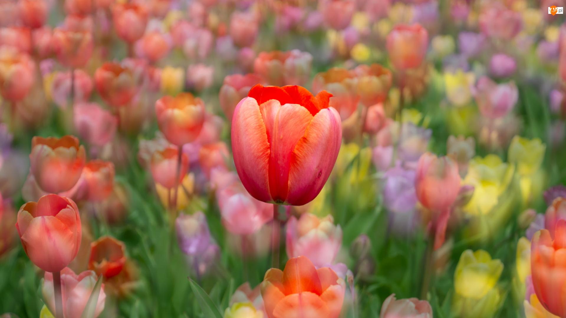 Kolorowe tło, Tulipany, Czerwony, Tulipan