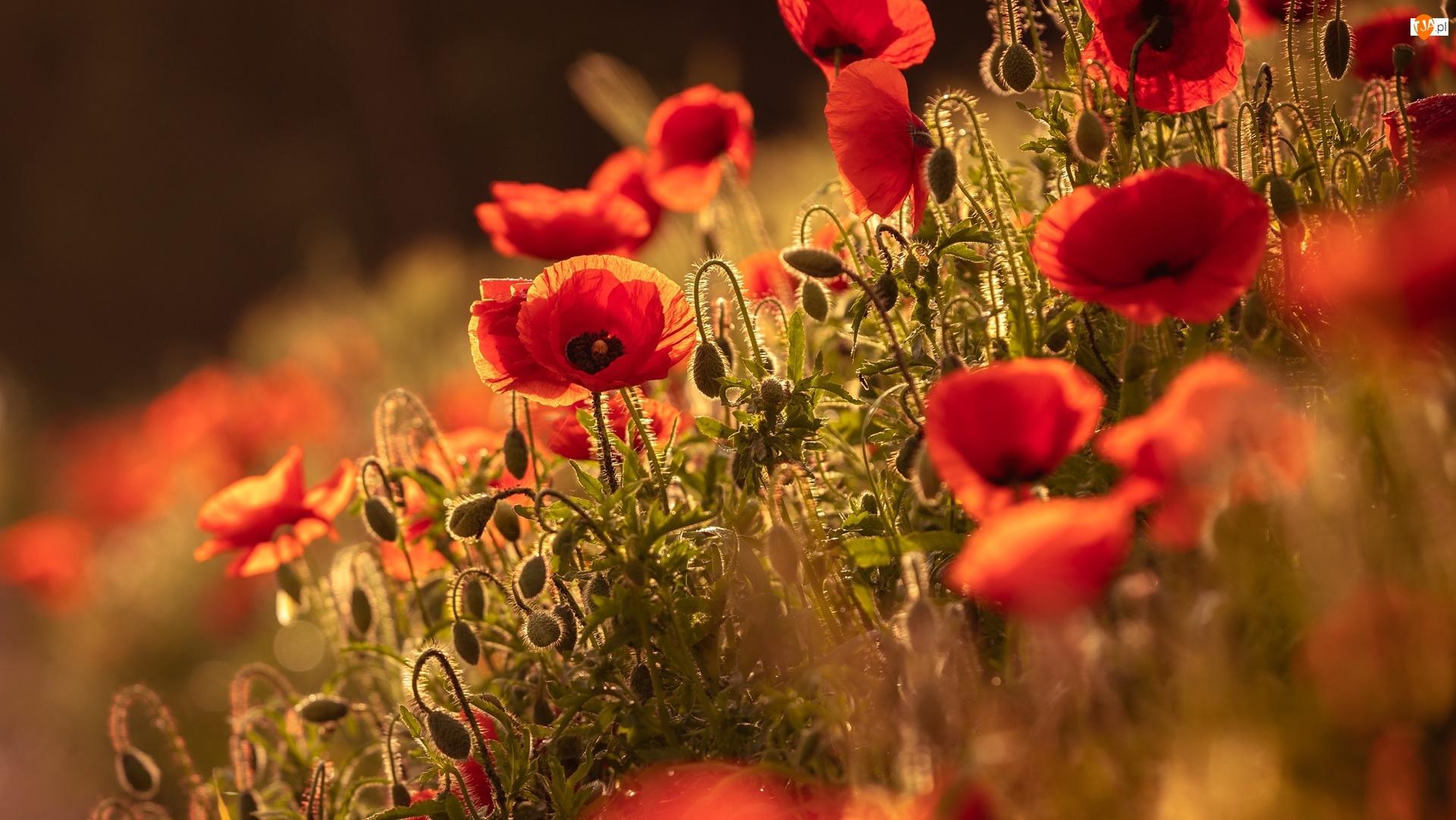 Światło, Kwiaty, Maki, Pąki