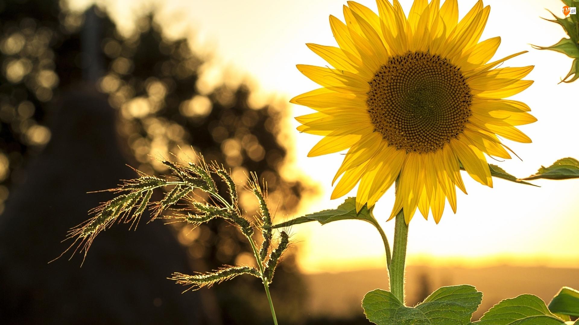 Roślina, Kwiat, Słonecznik