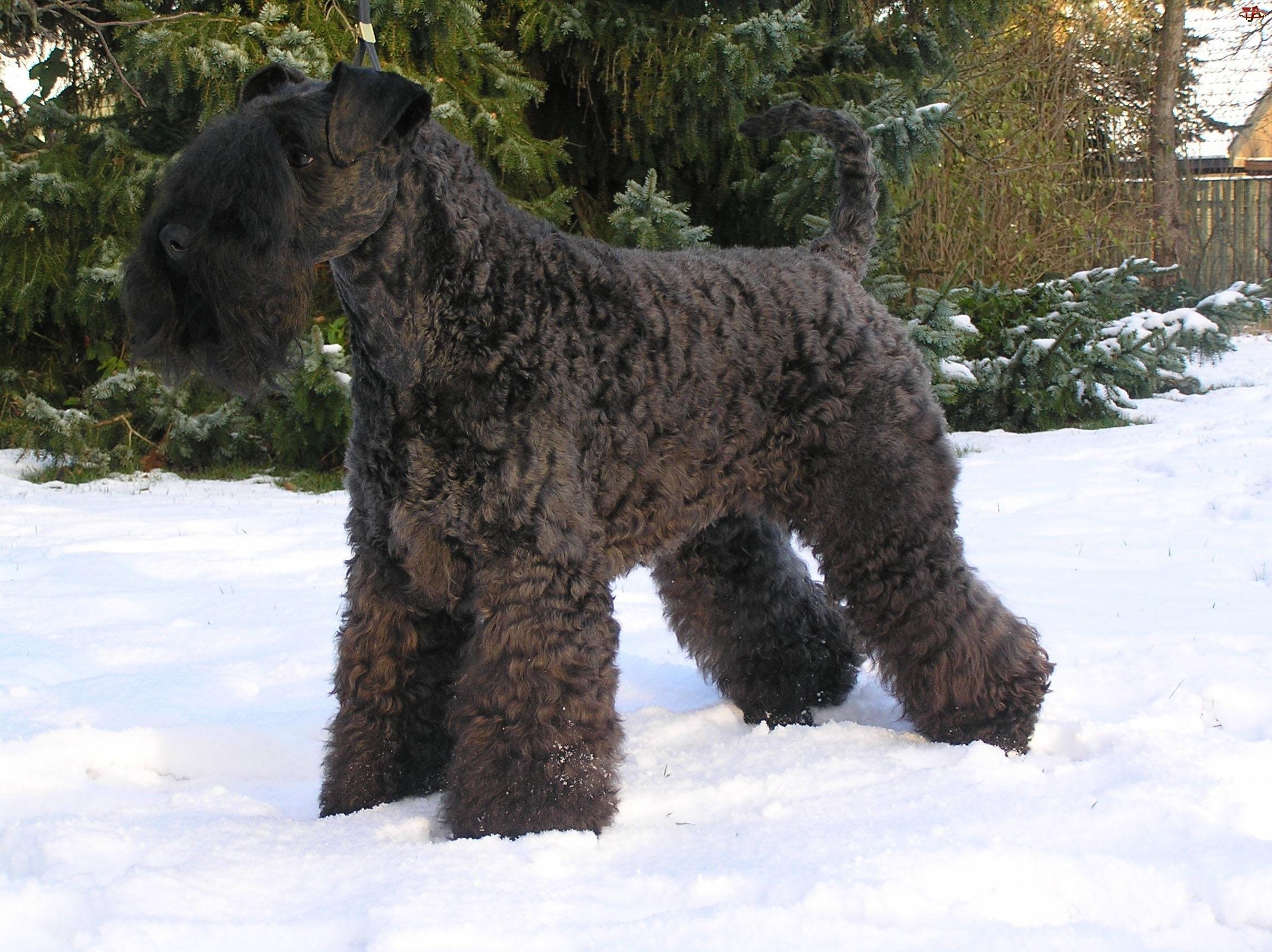 Kerry blue terrier, śnieg