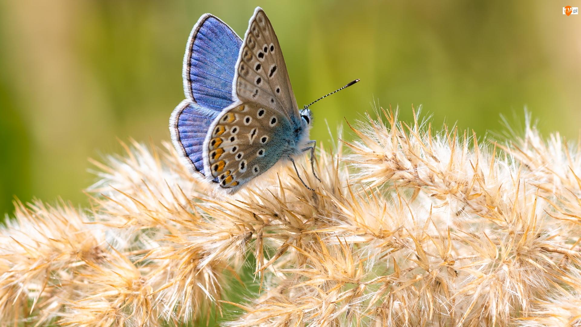 Roślina, Niebieski, Motyl, Modraszek ikar