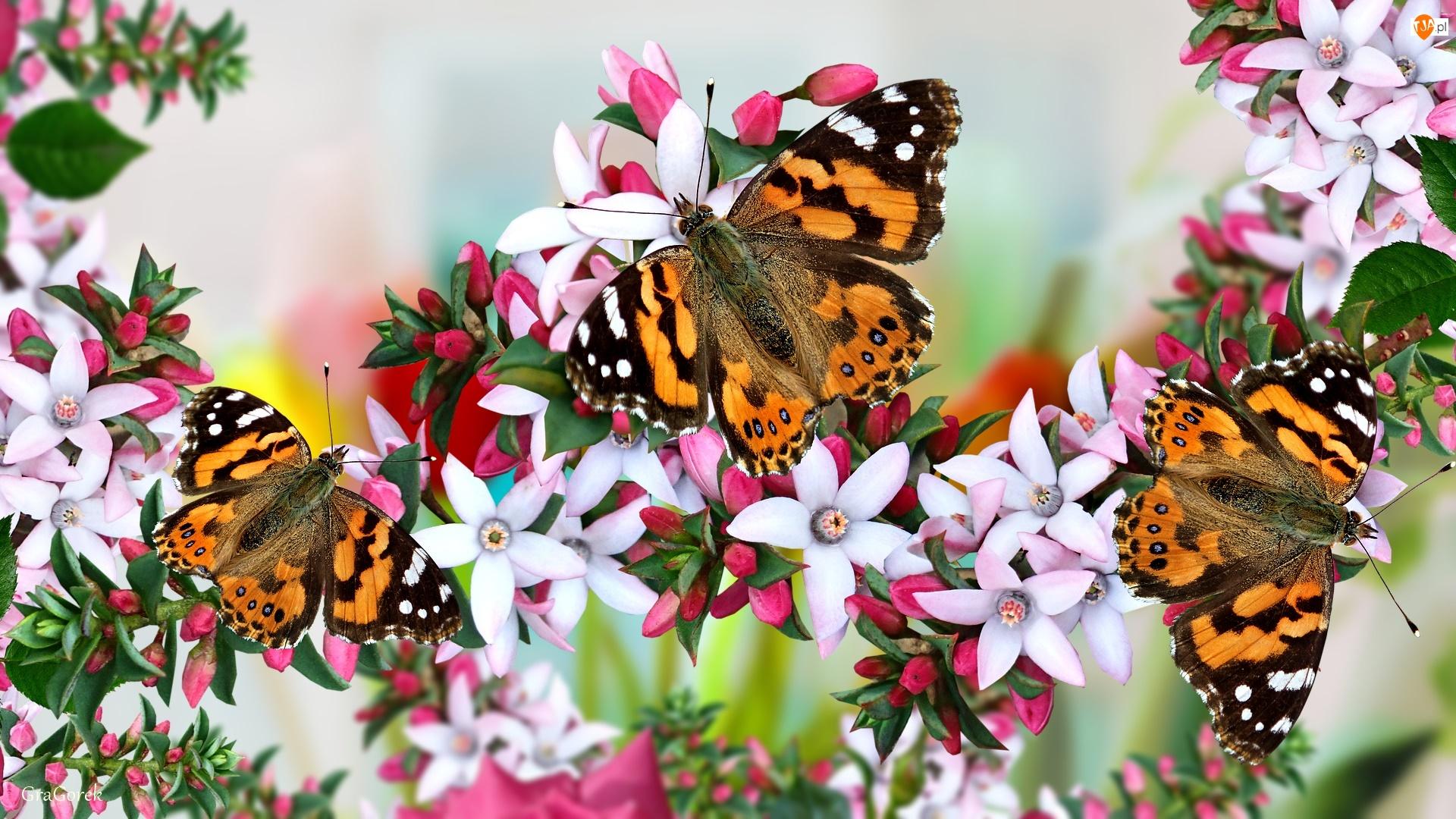 Kwiaty, Różowe, Motyle, Grafika, Pąki, Rusałka osetnik