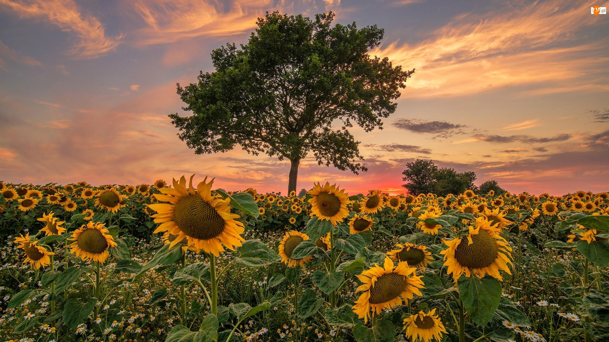 Zachód słońca, Słoneczniki, Pole, Drzewa