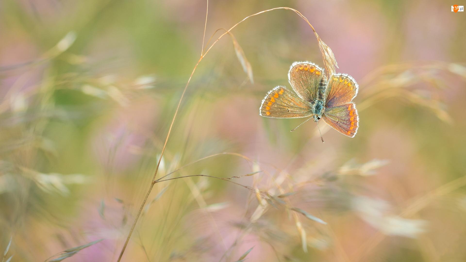 Modraszek agestis, Roślina, Motyl