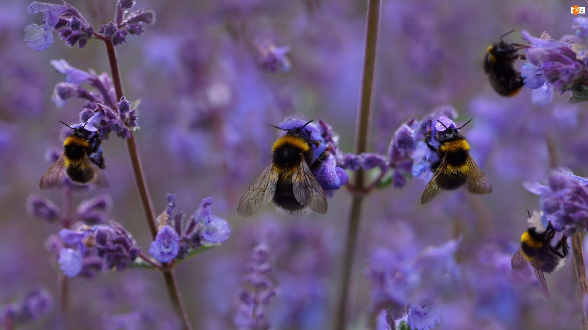 Kwiaty, Owady, Trzmiele, Fioletowe