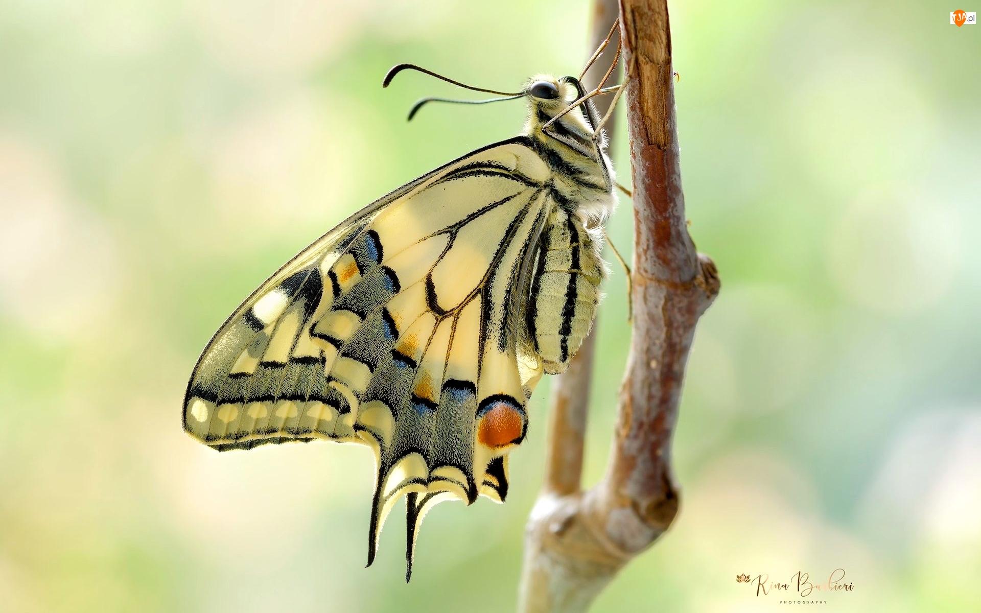 Gałązka, Makro, Motyl, Paź królowej