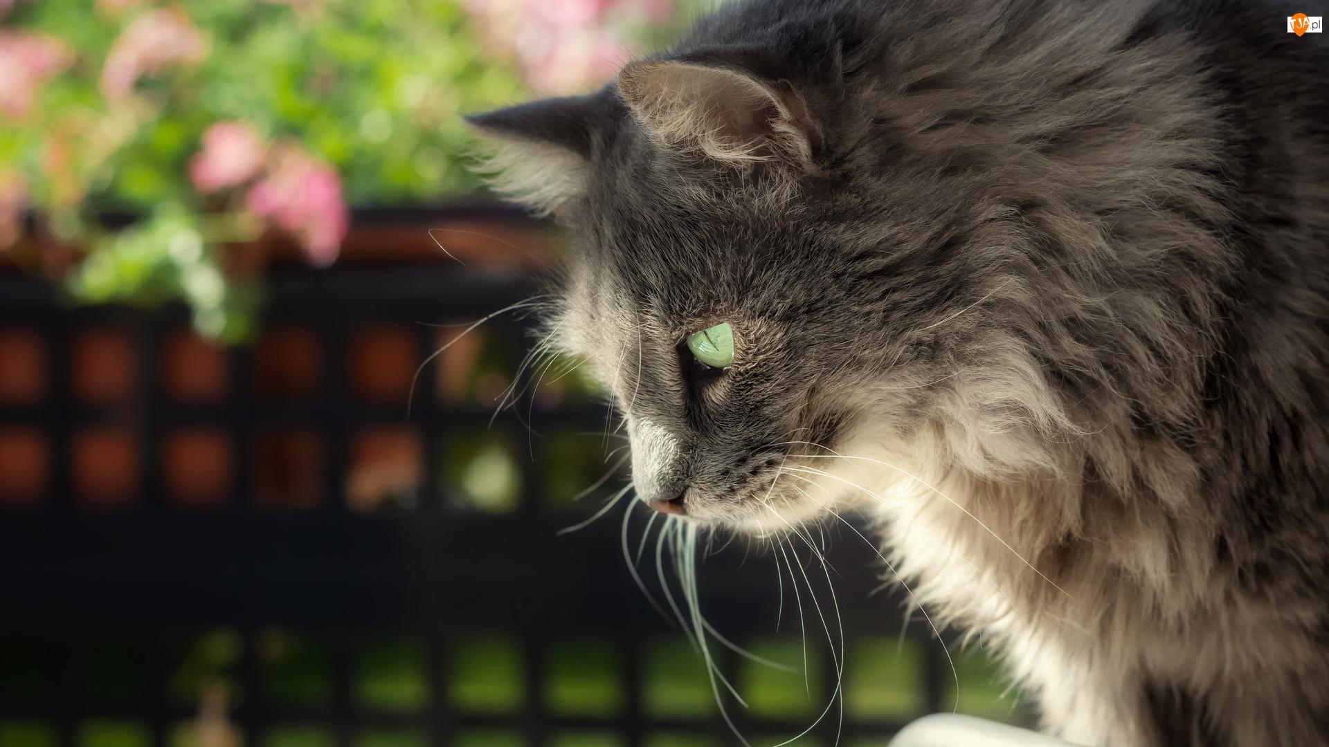 Kot, Długowłosy, Bury