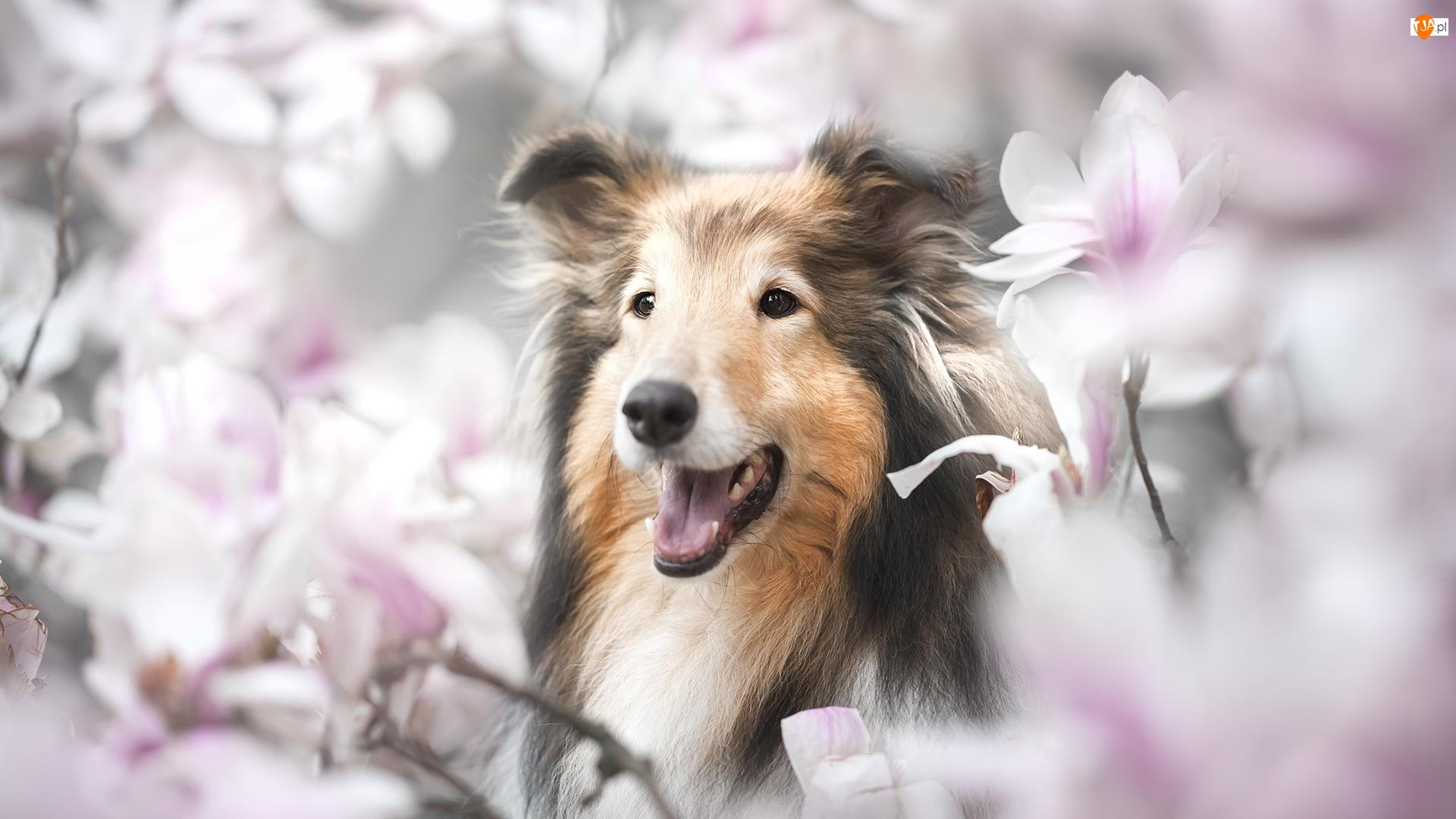 Magnolie, Pies, Owczarek szetlandzki