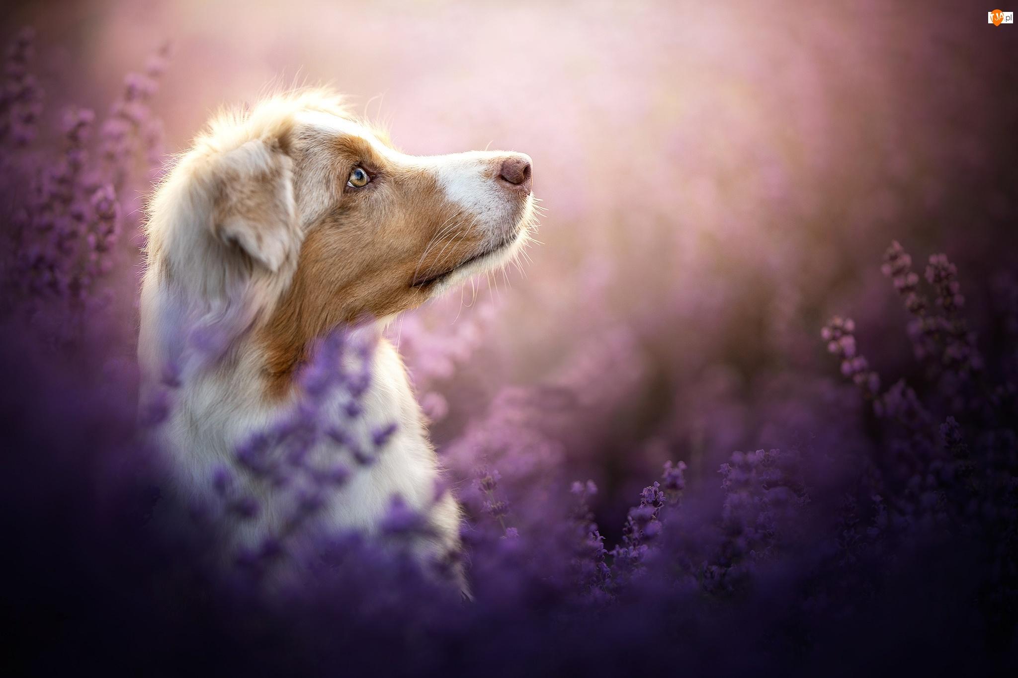 Profil, Pies, Owczarek australijski