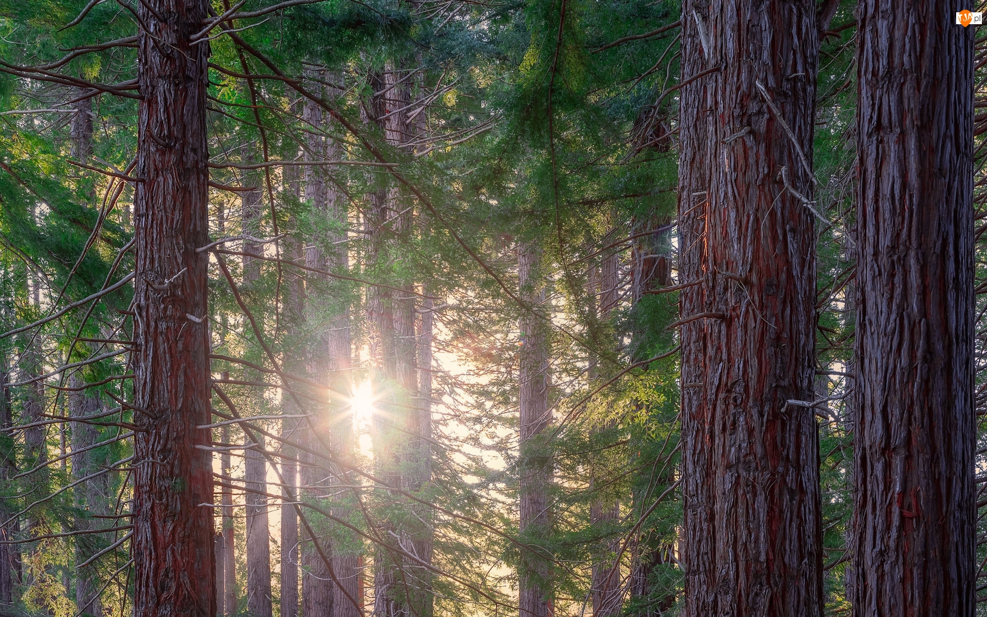 Drzewa, Sekwoje kalifornijskie, Nowa Zelandia, Las, Region Hawkes Bay, Te Mata Park, Promienie słońca