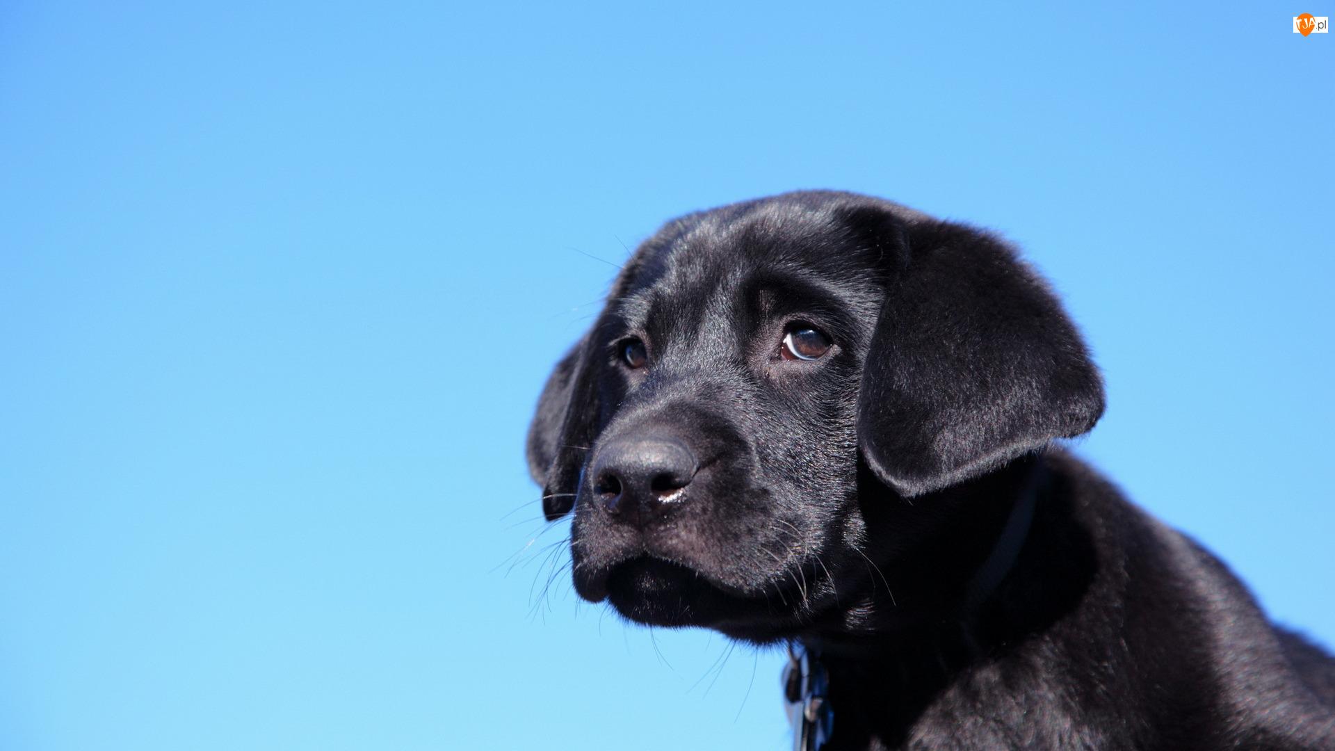 Niebieskie tło, Czarny, Pies, Szczeniak