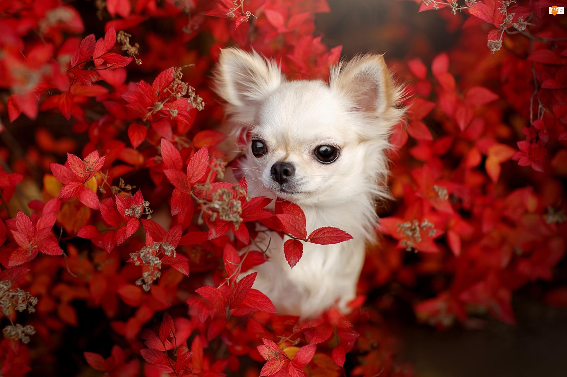 Krzew, Liście, Chihuahua, Pies, Czerwone