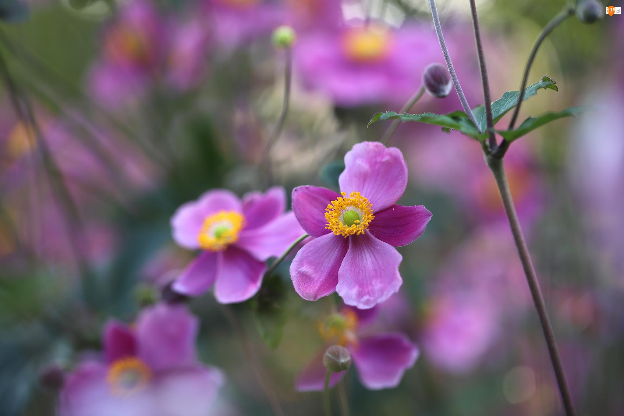 Kwiaty, Różowe, Zawilce japońskie