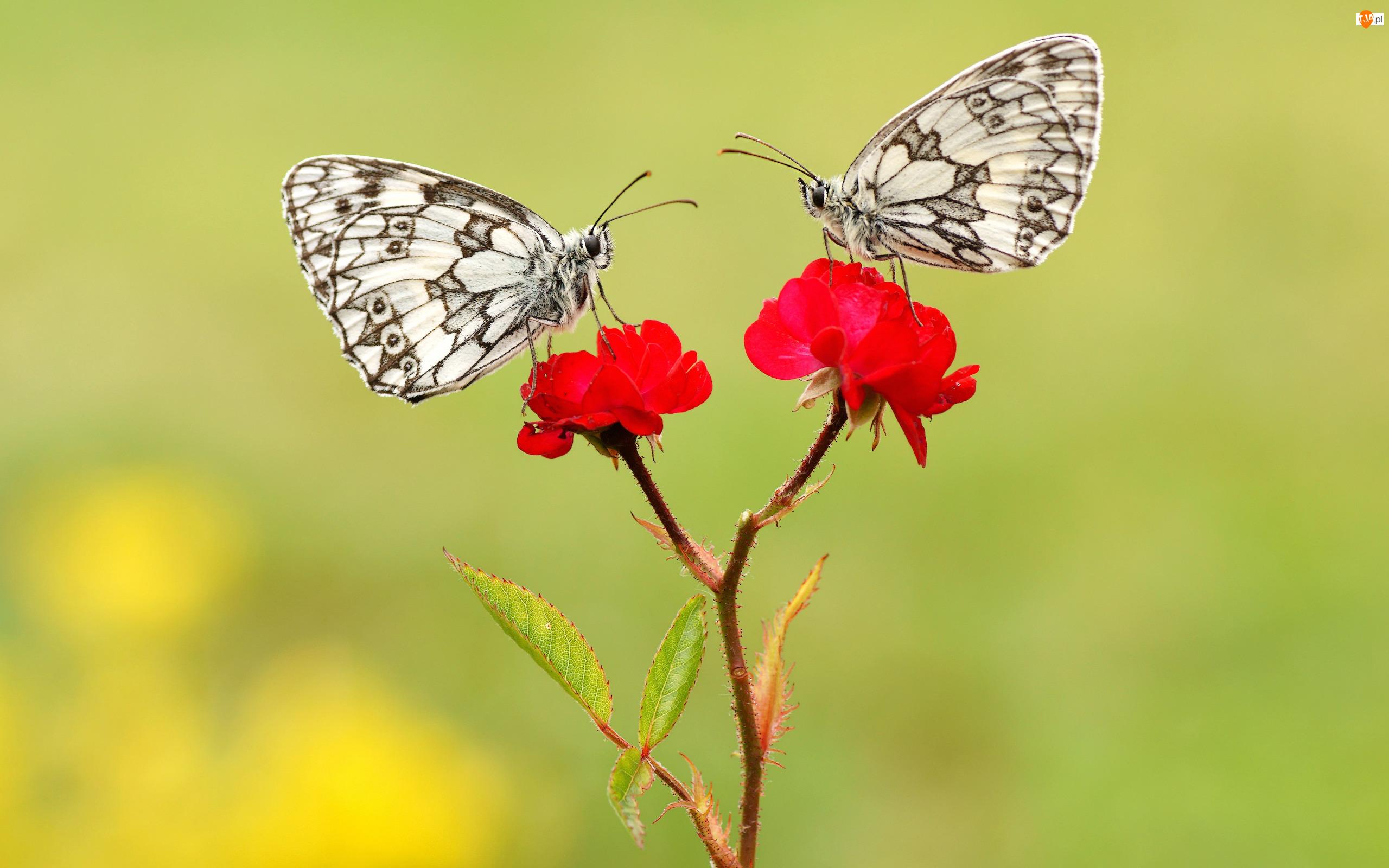 Motyle, Dwa, Czerwone, Róże, Polowiec szachownica, Kwiaty