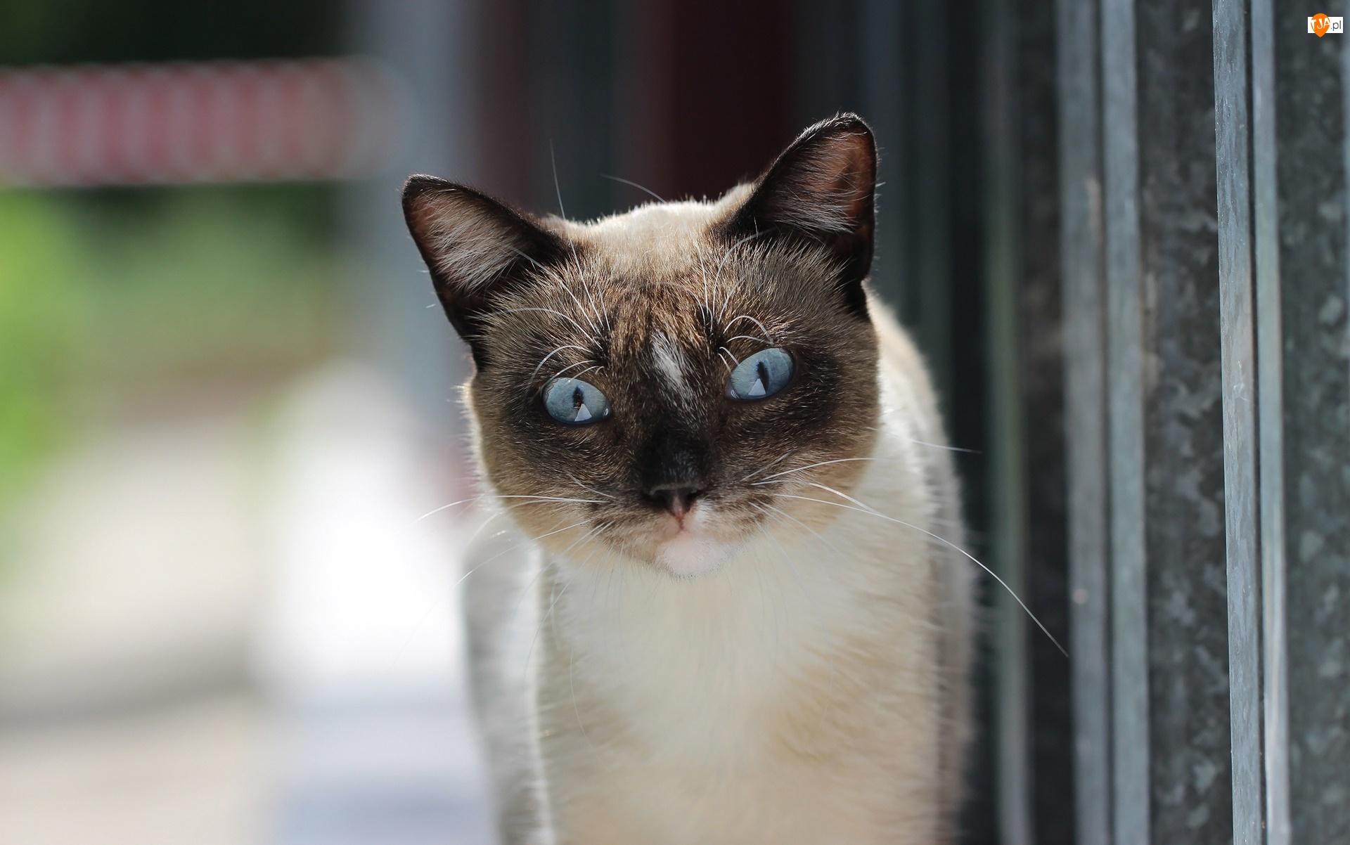 Niebieskie, Kot, Ciemny, Spojrzenie, Oczy, Pyszczek