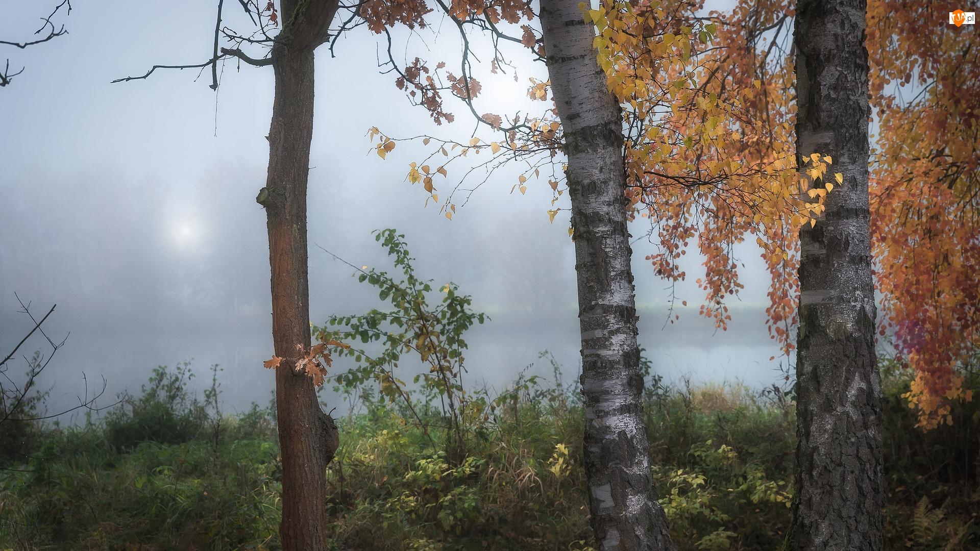 Brzozy, Mgła, Drzewa, Jesień, Rzeka