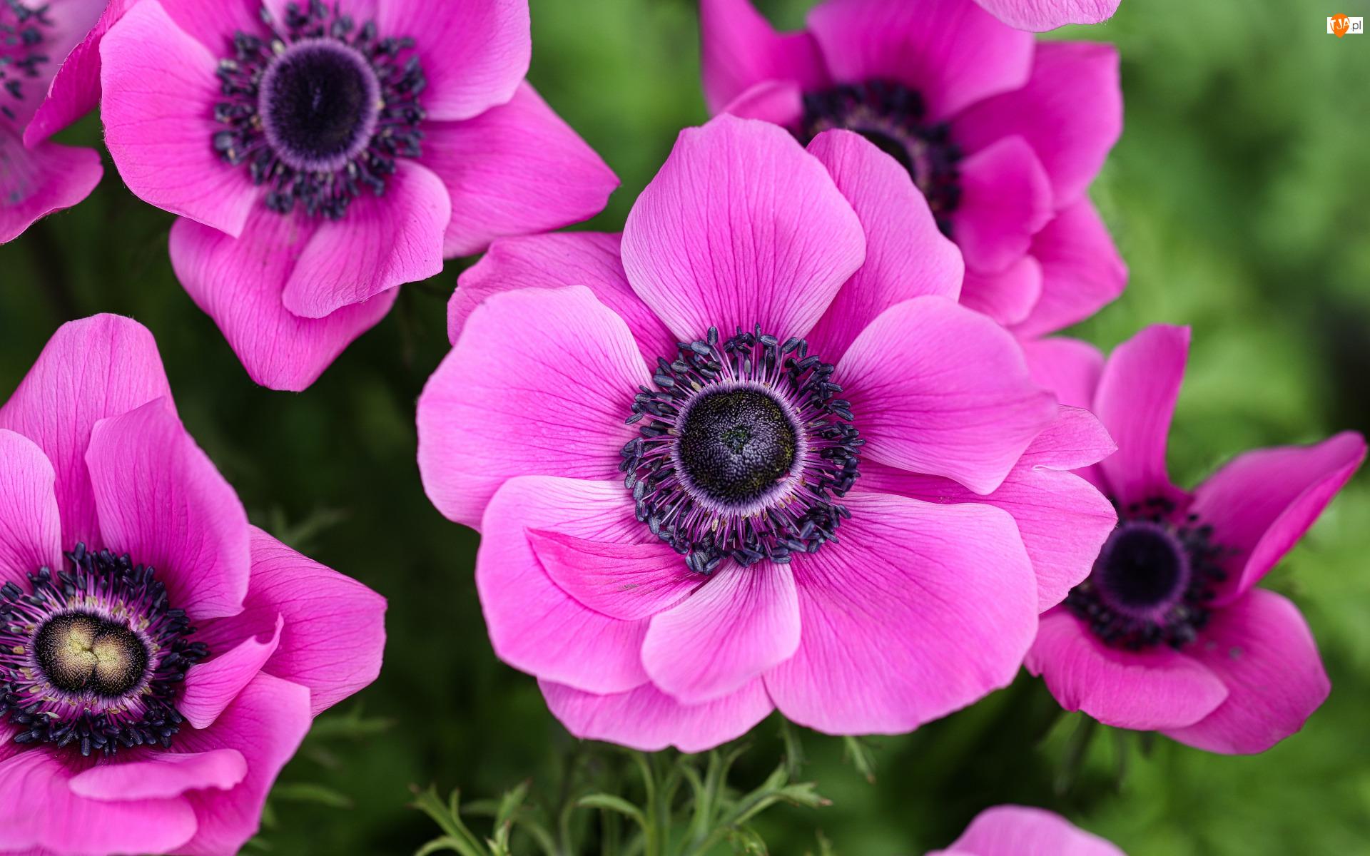 Zawilce, Różowe, Kwiaty, Anemony